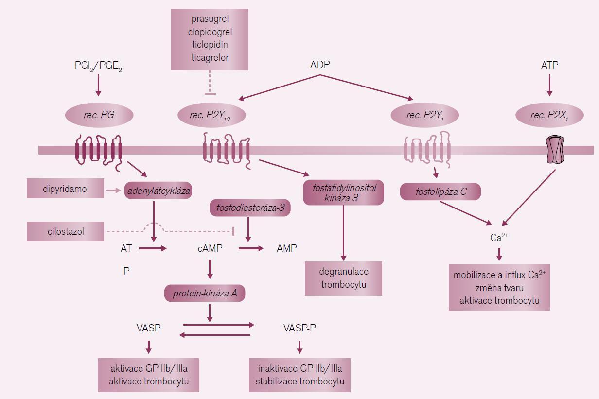 Místa působení protidestičkových léků tlumících aktivaci trombocytu zprostředkovanou ADP.
