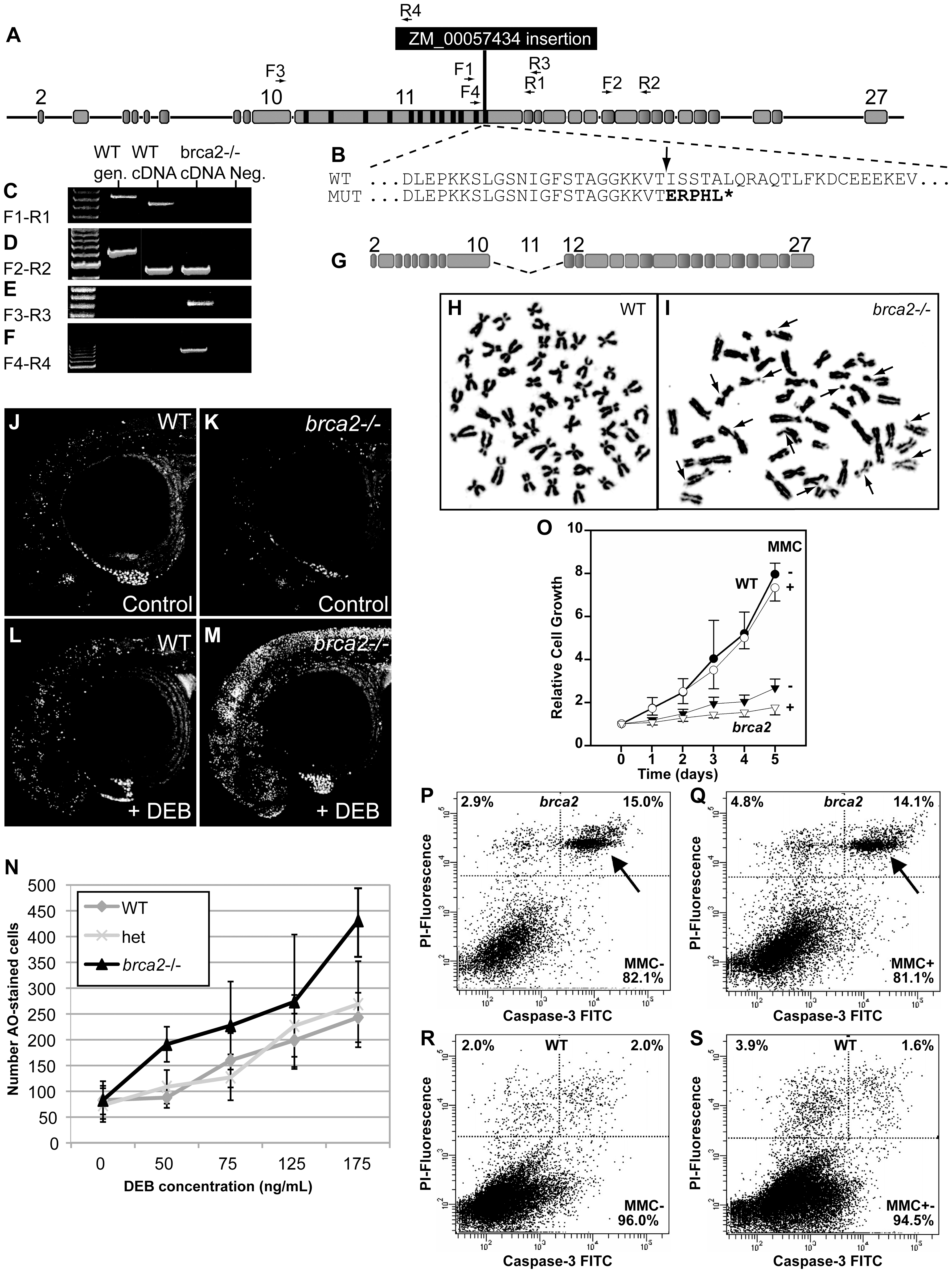 A zebrafish <i>brca2</i> insertional mutant reveals a role for <i>brca2</i> in zebrafish genome stability and cell growth.