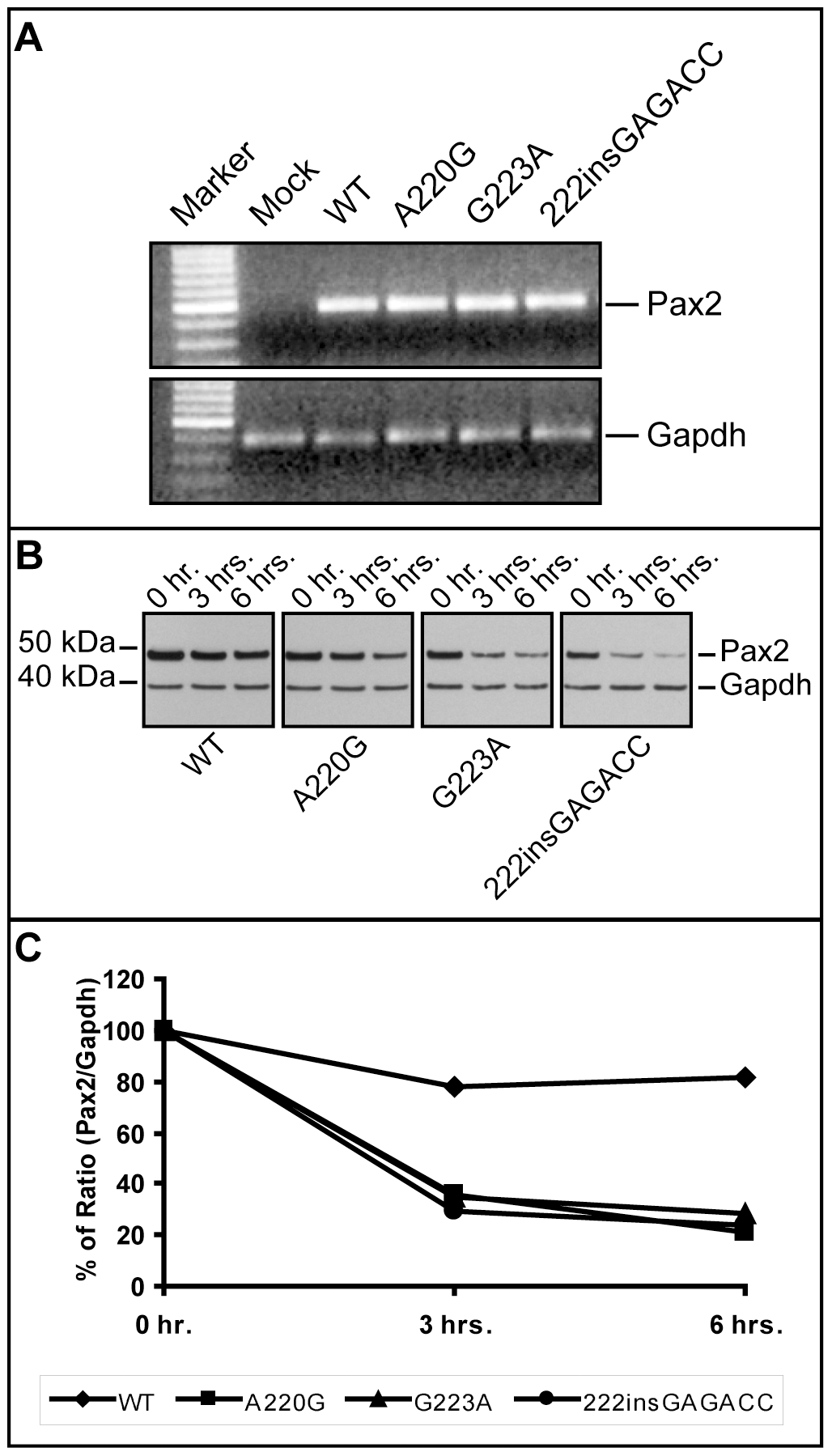 Comparison of <i>Pax2</i> mRNA steady-state levels and Pax2 protein stability in wild-type and mutant expression vector-transfected NIH/3T3 cells.