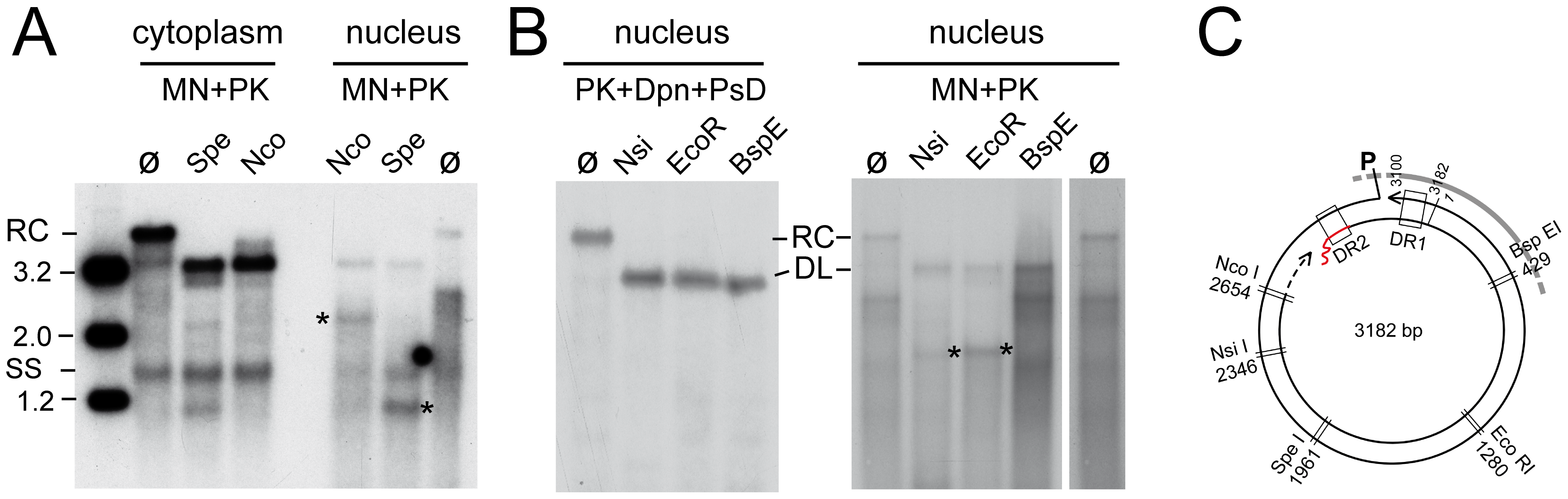Restriction mapping of nuclear HBV rcDNA suggests genome region-selective MN accessibility.