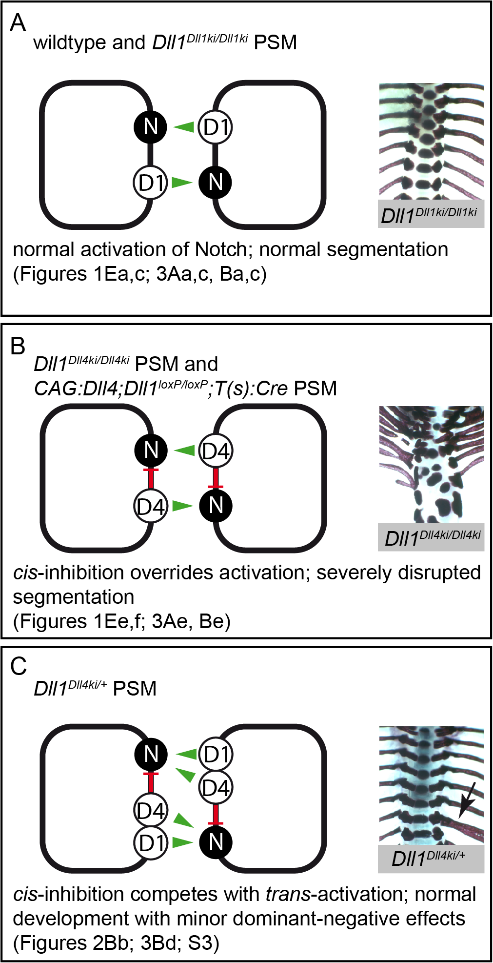 Model of Notch signalling in the PSM triggered by DLL1 and ectopic DLL4.