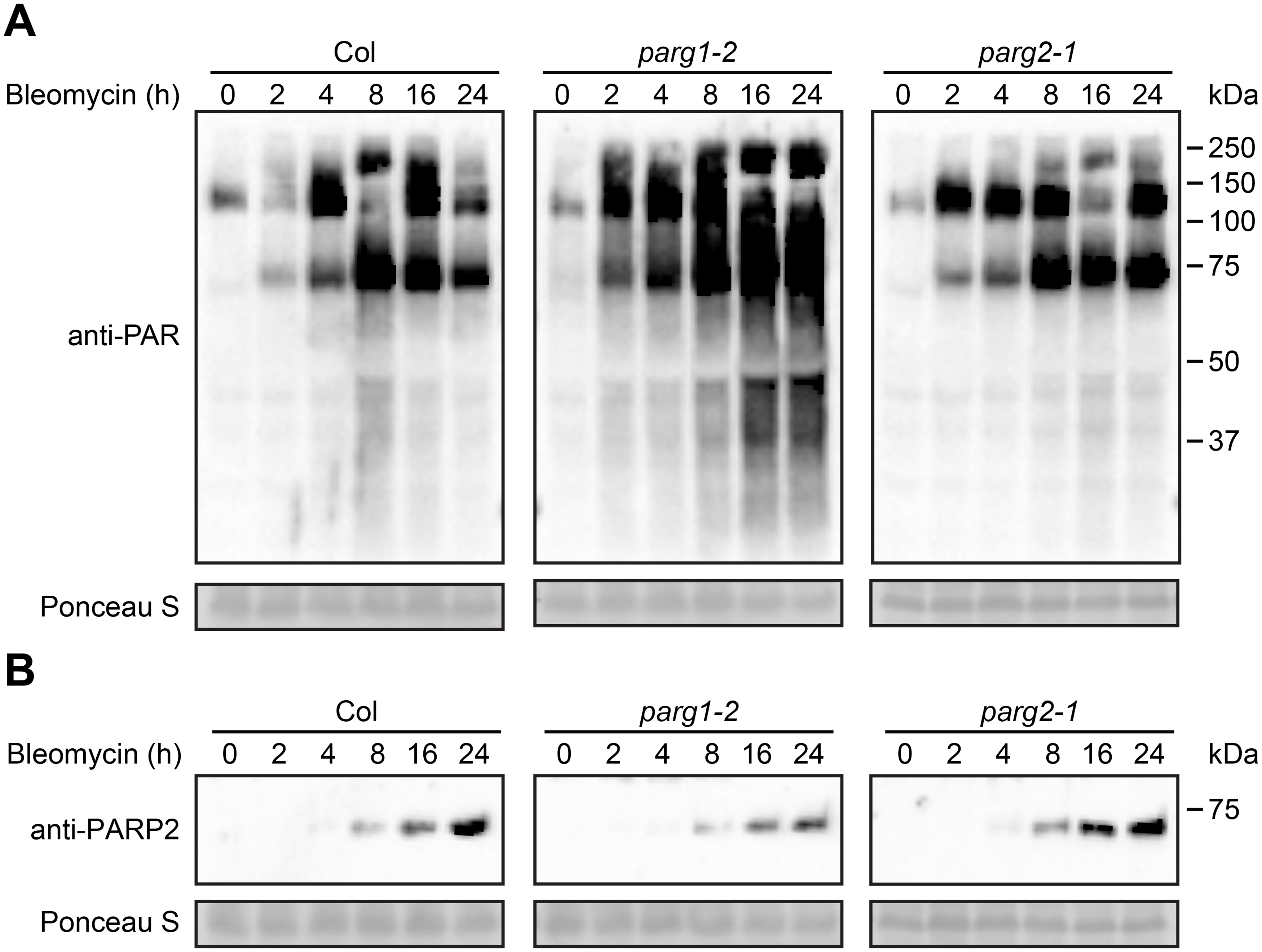 PARG1 is more active than PARG2 in removal of poly(ADP-ribosyl)ation after bleomycin treatment.