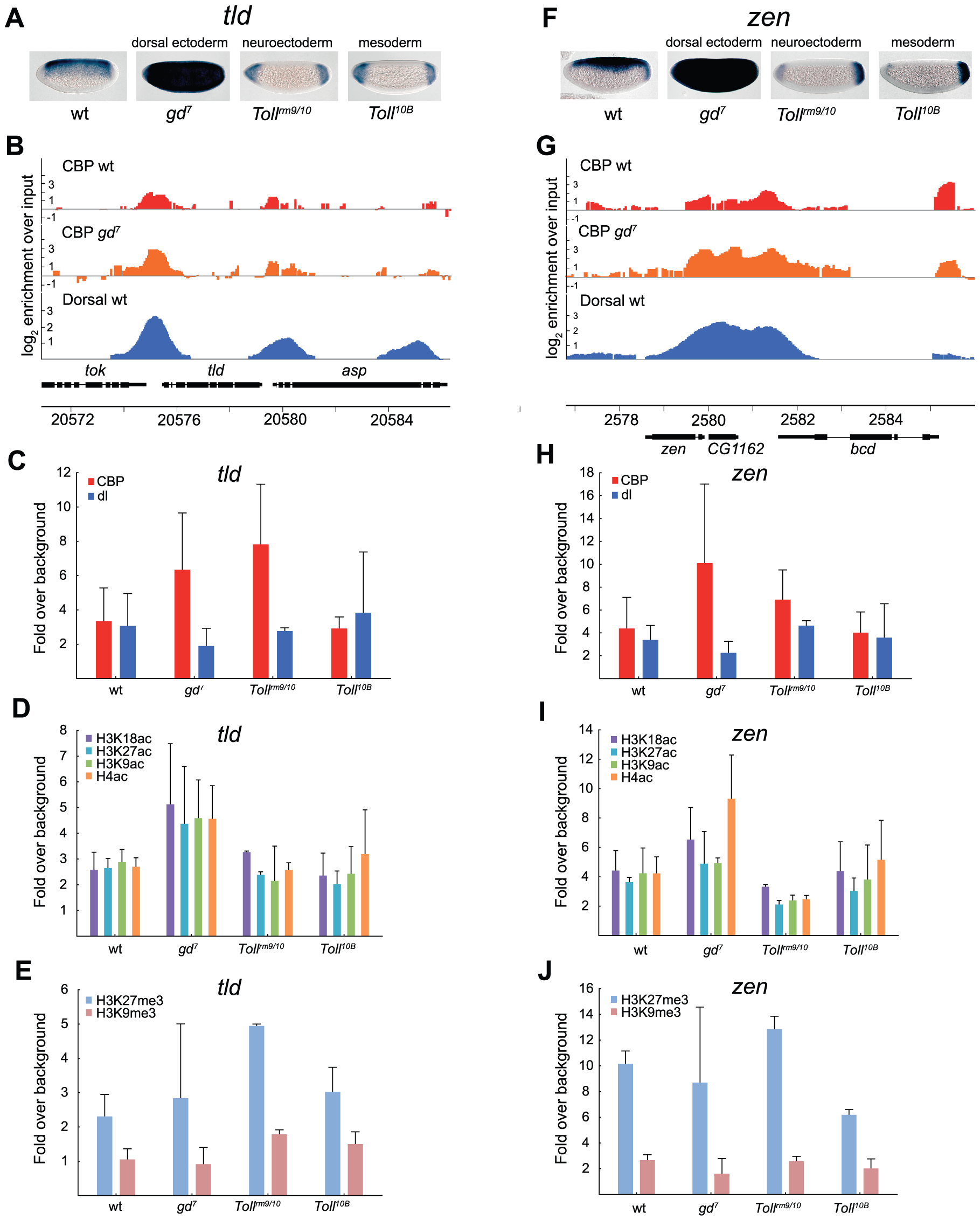 Histone acetylation by CBP at genes repressed by Dorsal is restricted by H3K27me3 in the neuroectoderm.
