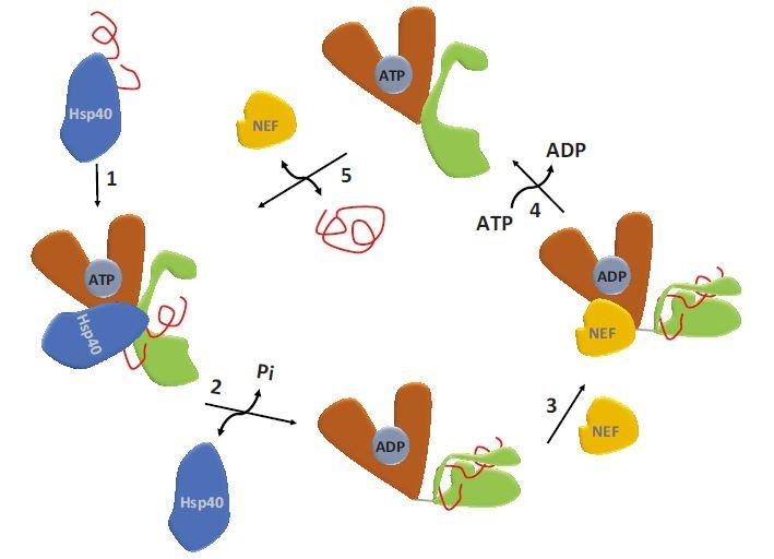 ATPázový cyklus HSP70.