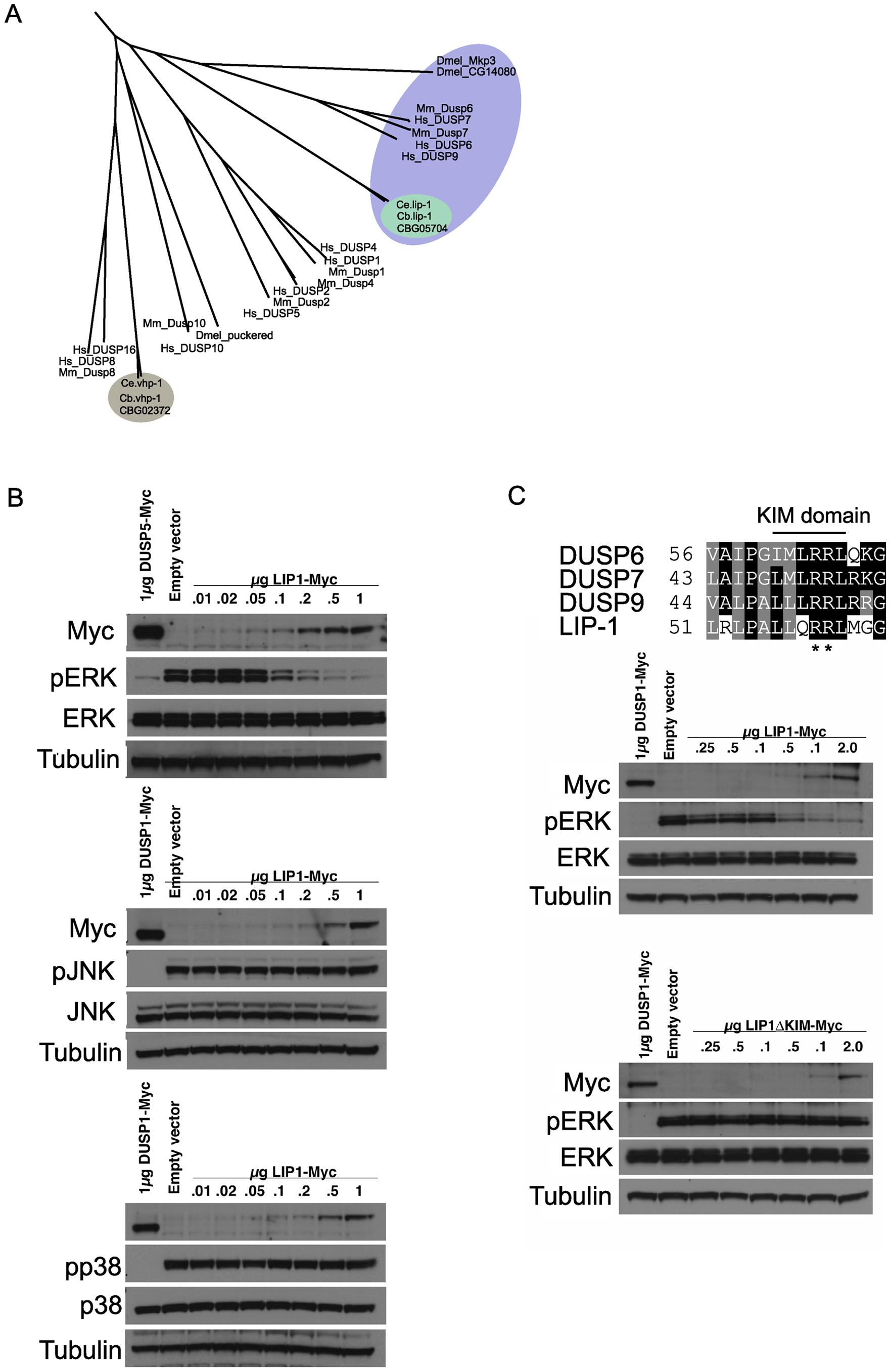 <i>lip-1</i> encodes an ERK–specific phosphatase.