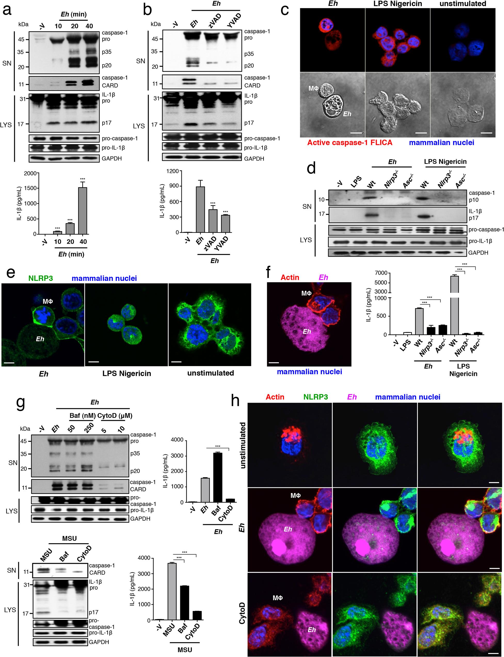 <i>E</i>. <i>histolytica</i> activates the NLRP3 inflammasome upon contact.