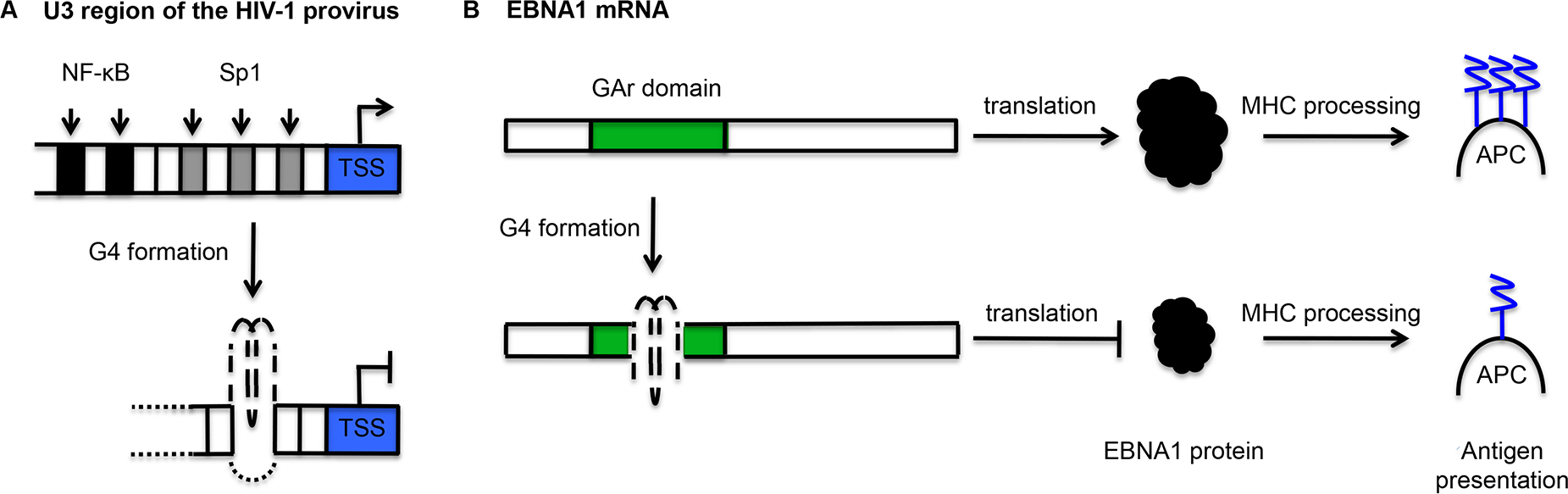 Schematic representation of the mechanisms by which G-quadruplexes (G4) may contribute to the maintenance of viral latency.