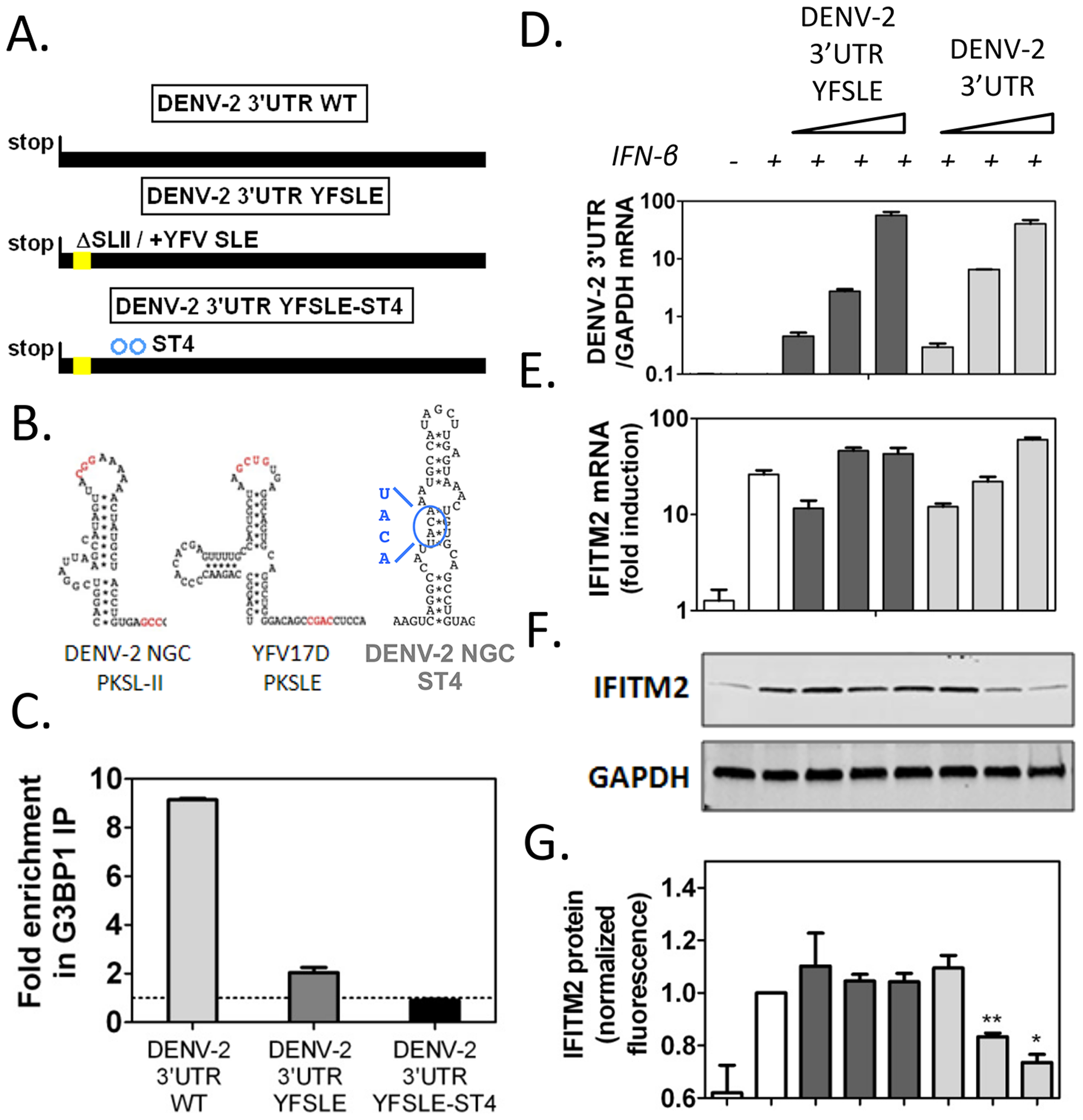 DENV-2 3′UTR downregulates ISG protein expression through G3BP1, G3BP2 and CAPRIN1 binding.