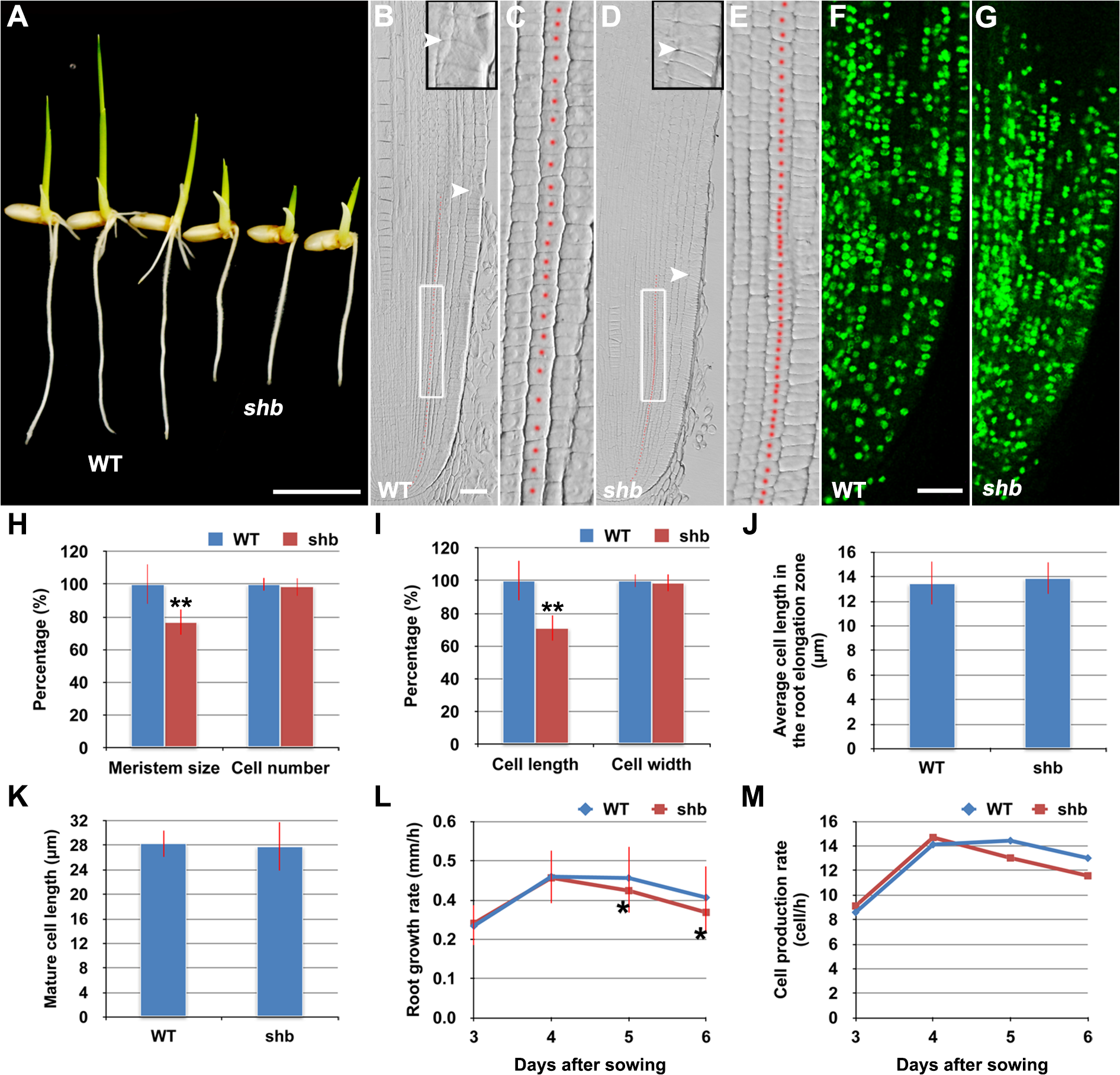 The <i>shb</i> mutation reduces the length of meristematic cortical cells and consequently the size of the root meristem in rice.