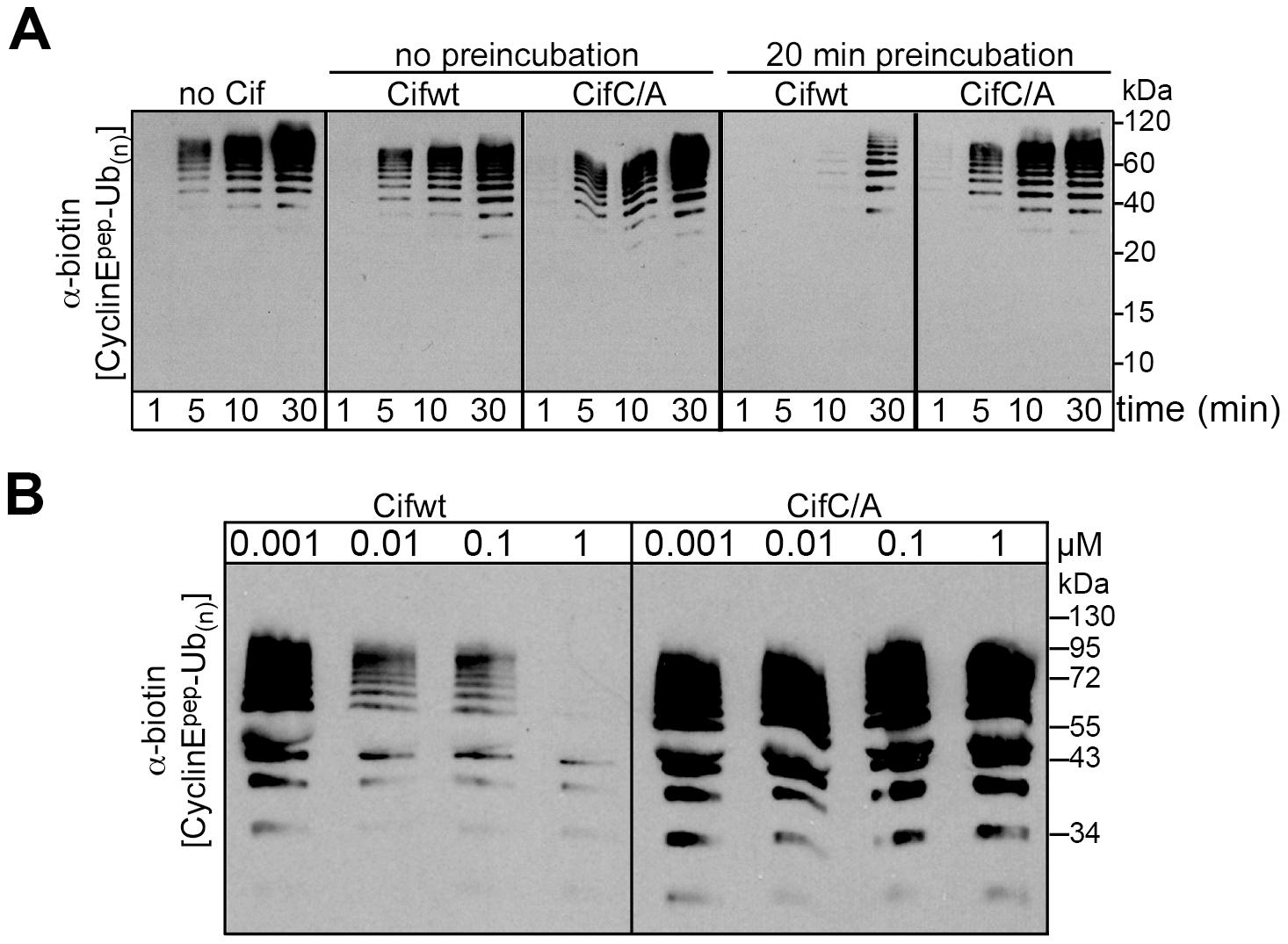 Cif decreases neddylated SCF-mediated substrate polyubiquitylation <i>in vitro</i>.