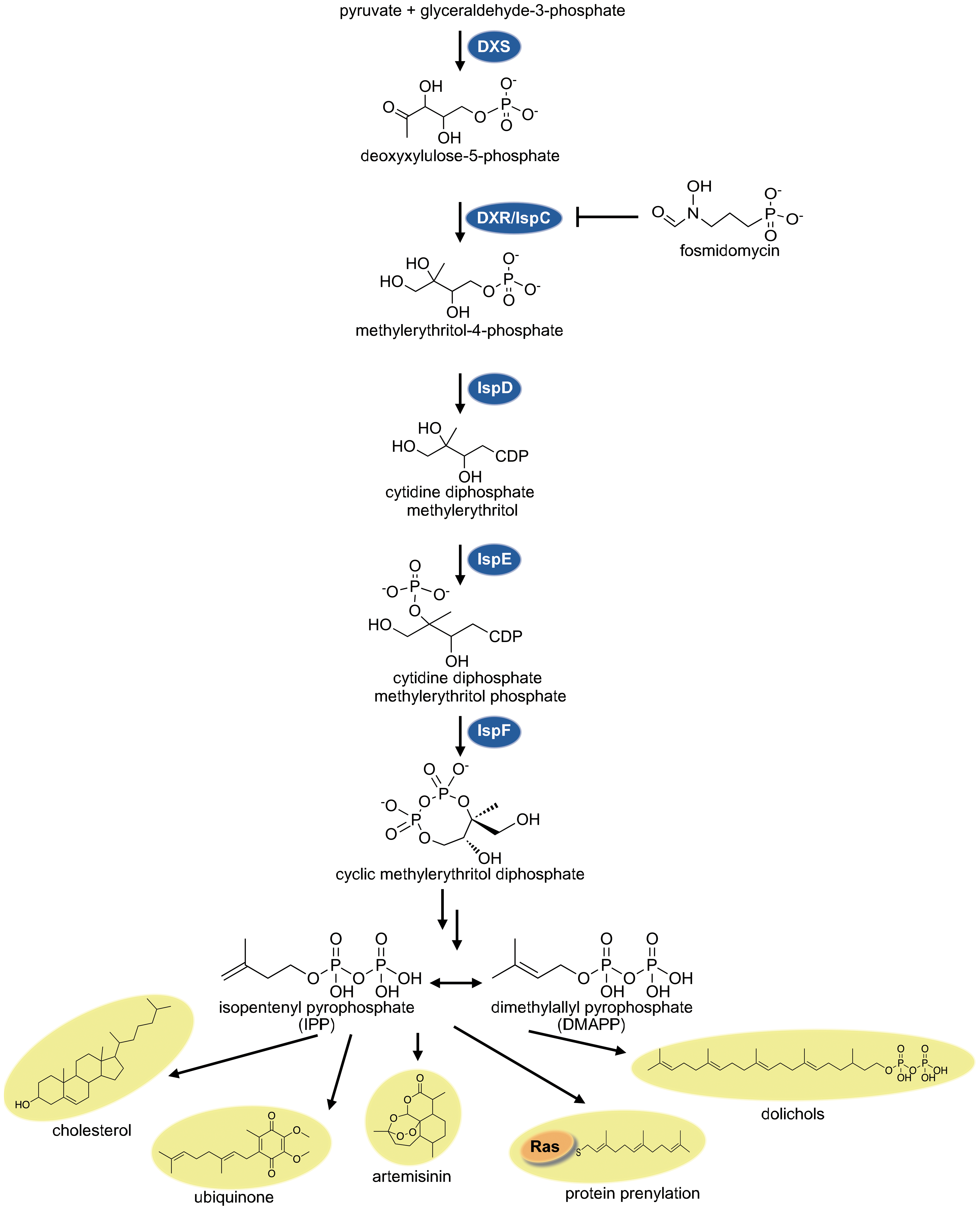 The non-mevalonate MEP pathway of isoprenoid biosynthesis.