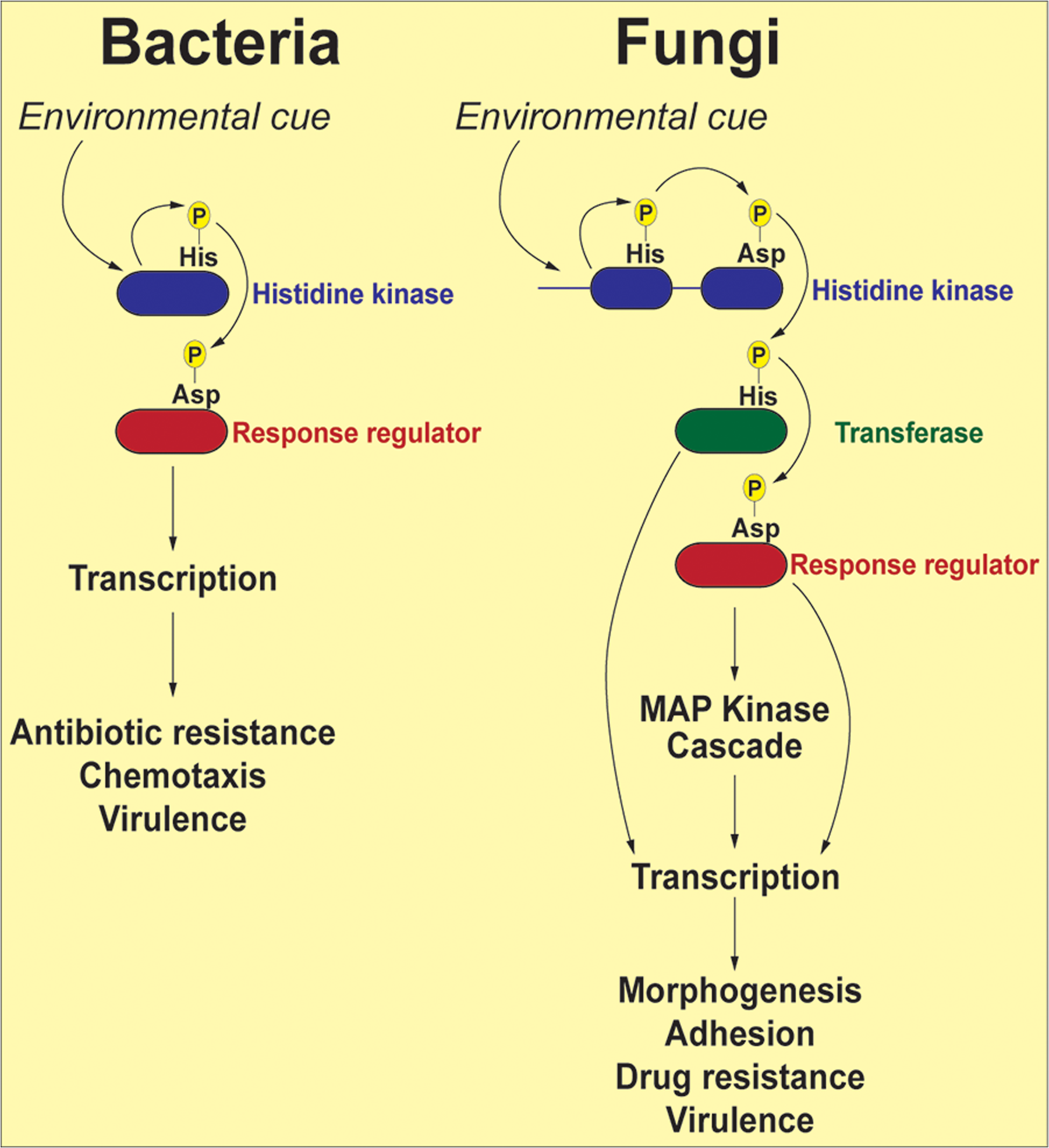 Schematic representation of two-component signal transduction pathways in bacteria and common human fungal pathogens.