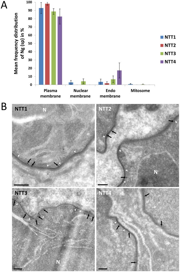 Localisation of individual ThNTT using quantitative immuno-electron microscopy.