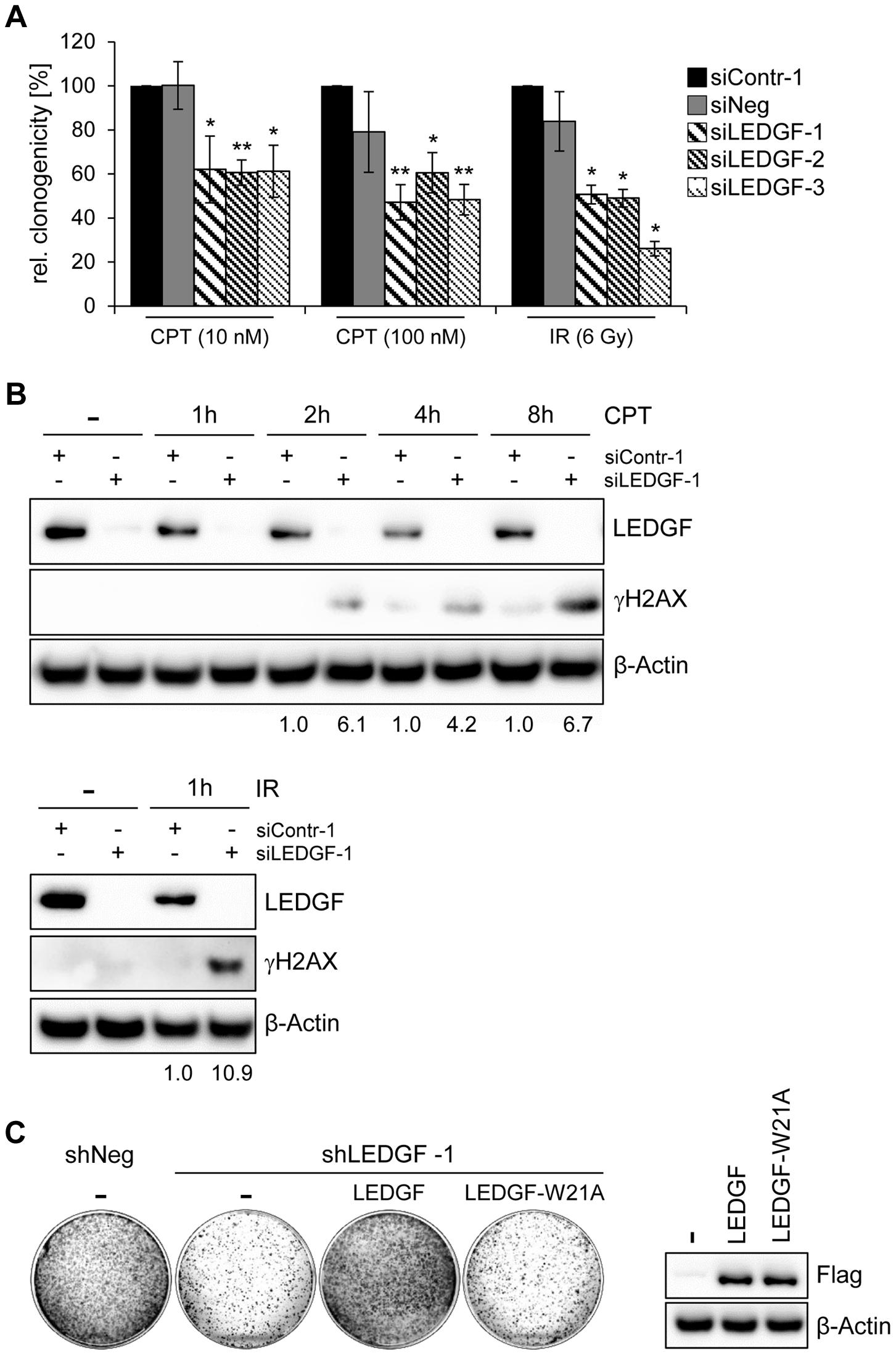 <i>LEDGF</i> silencing sensitizes HeLa cells towards genotoxic agents.