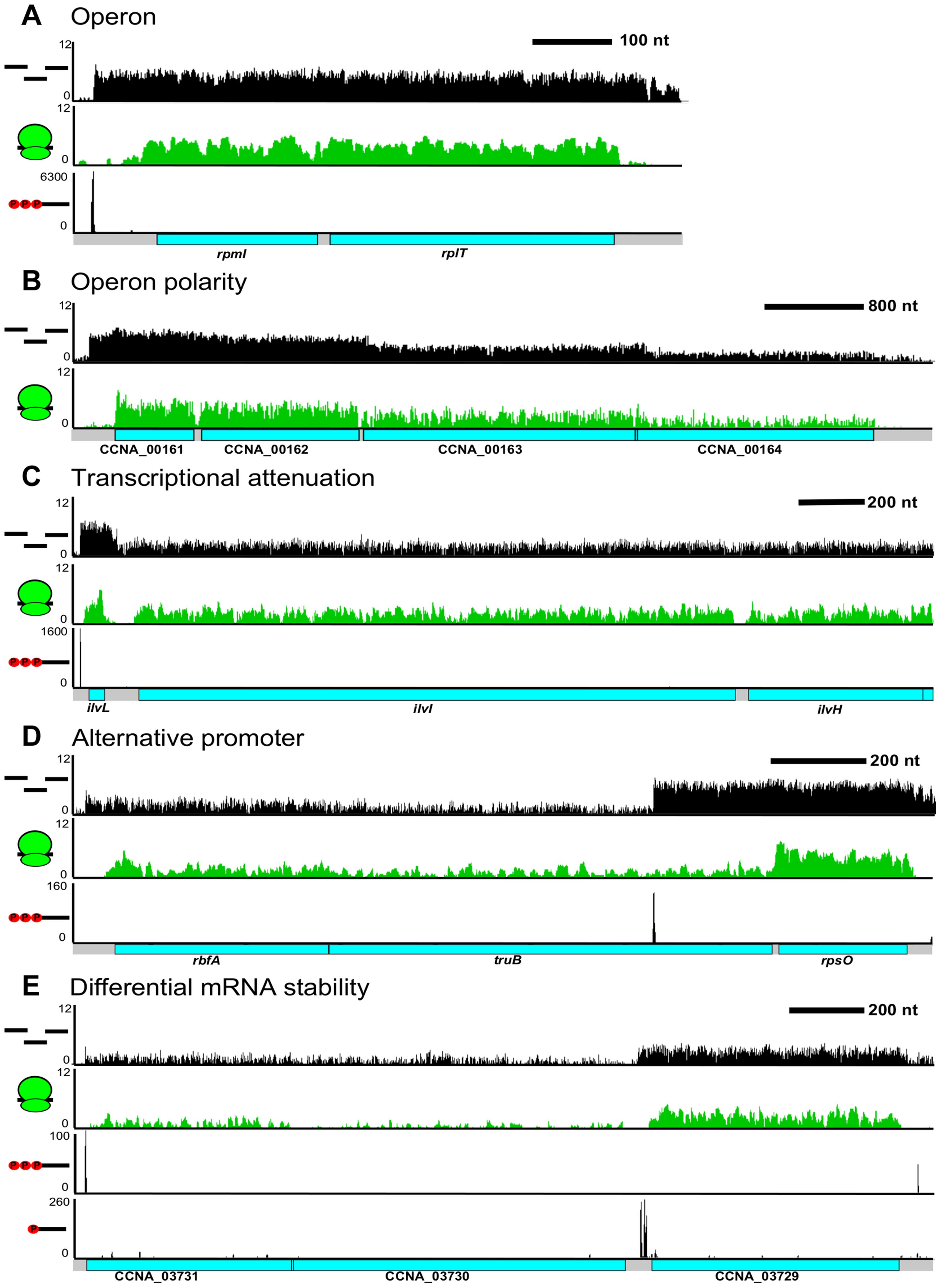 Complex regulation of <i>C. crescentus</i> operons.
