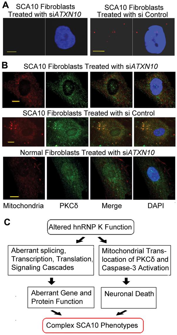 Down-regulation of <i>ATXN-10</i> in SCA10 fibroblasts decreases PKCδ localization in mitochondria.