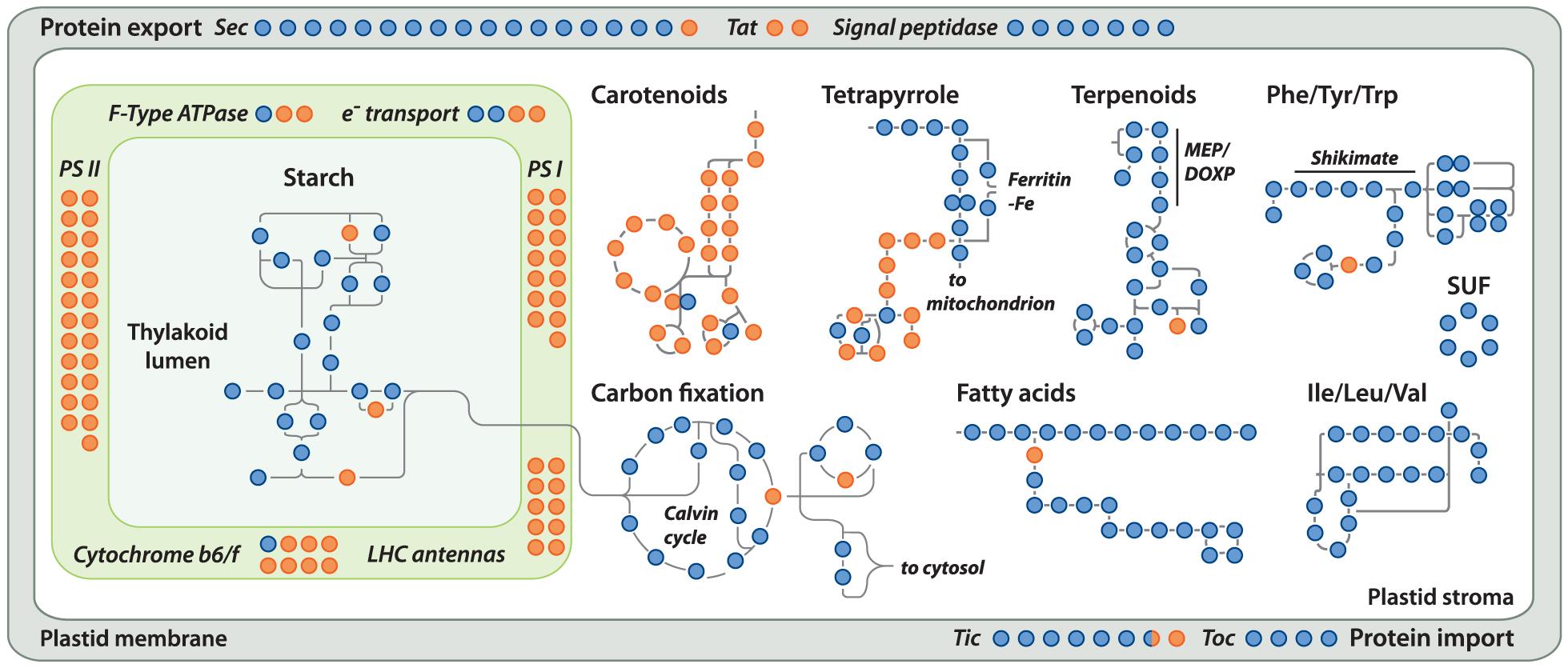 Localization of <i>Helicosporidium</i> losses amongst the major plastid metabolic pathways.