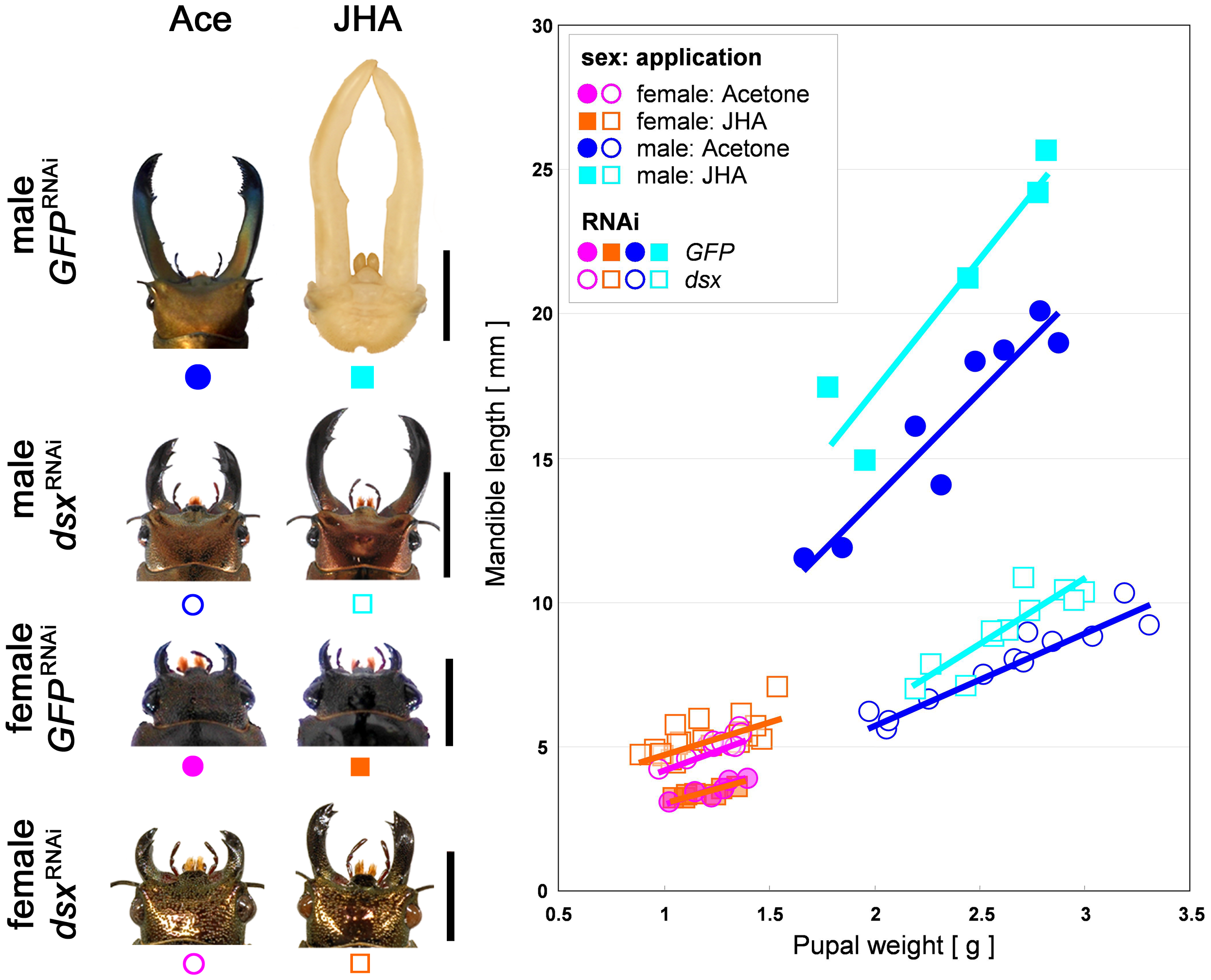 Effects of JHA application on <i>GFP</i><sup>RNAi</sup> and <i>dsx</i><sup>RNAi</sup> individuals.