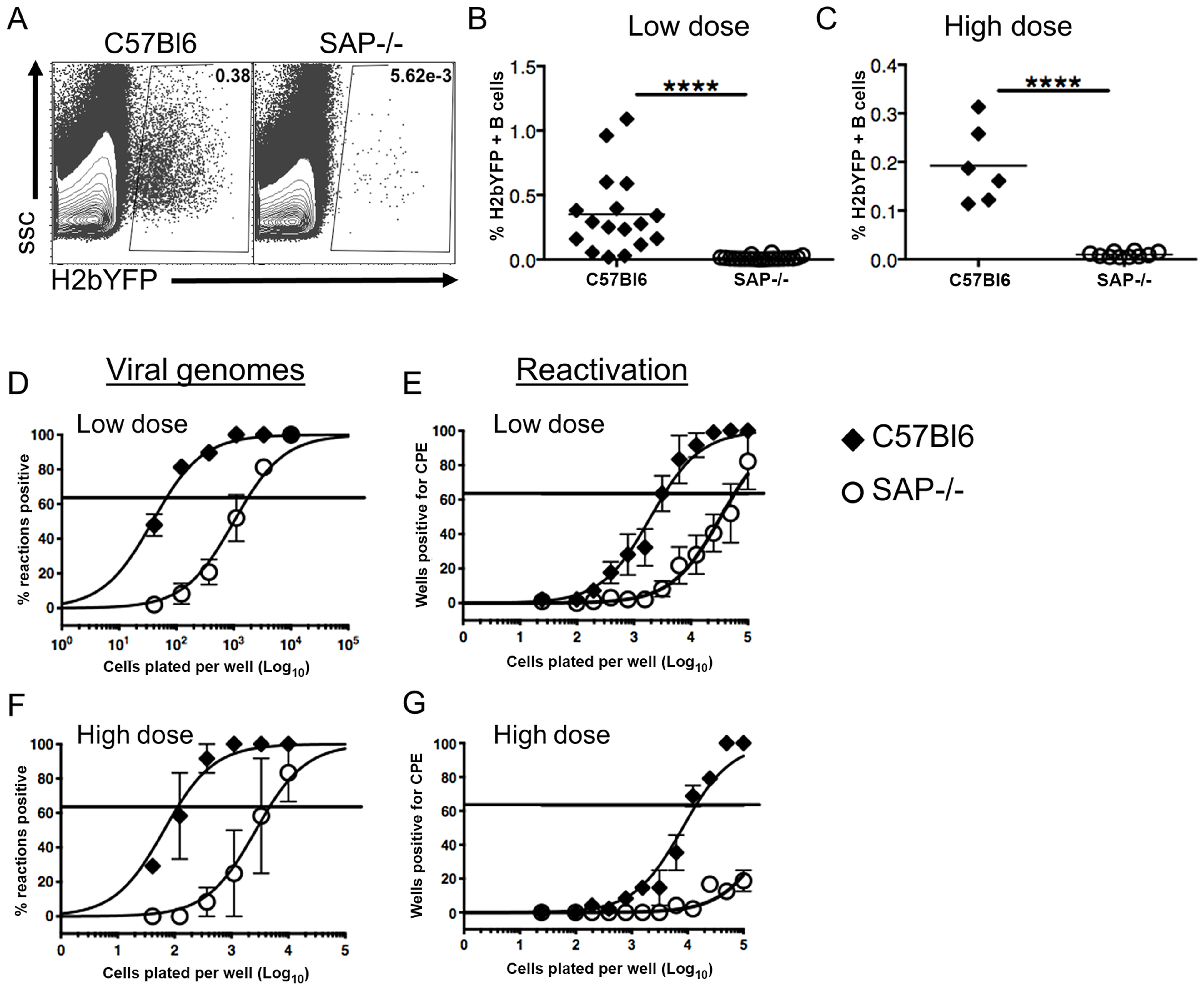 Reduced frequency of latently infected B cells in SAP-deficient mice during the establishment of latency.