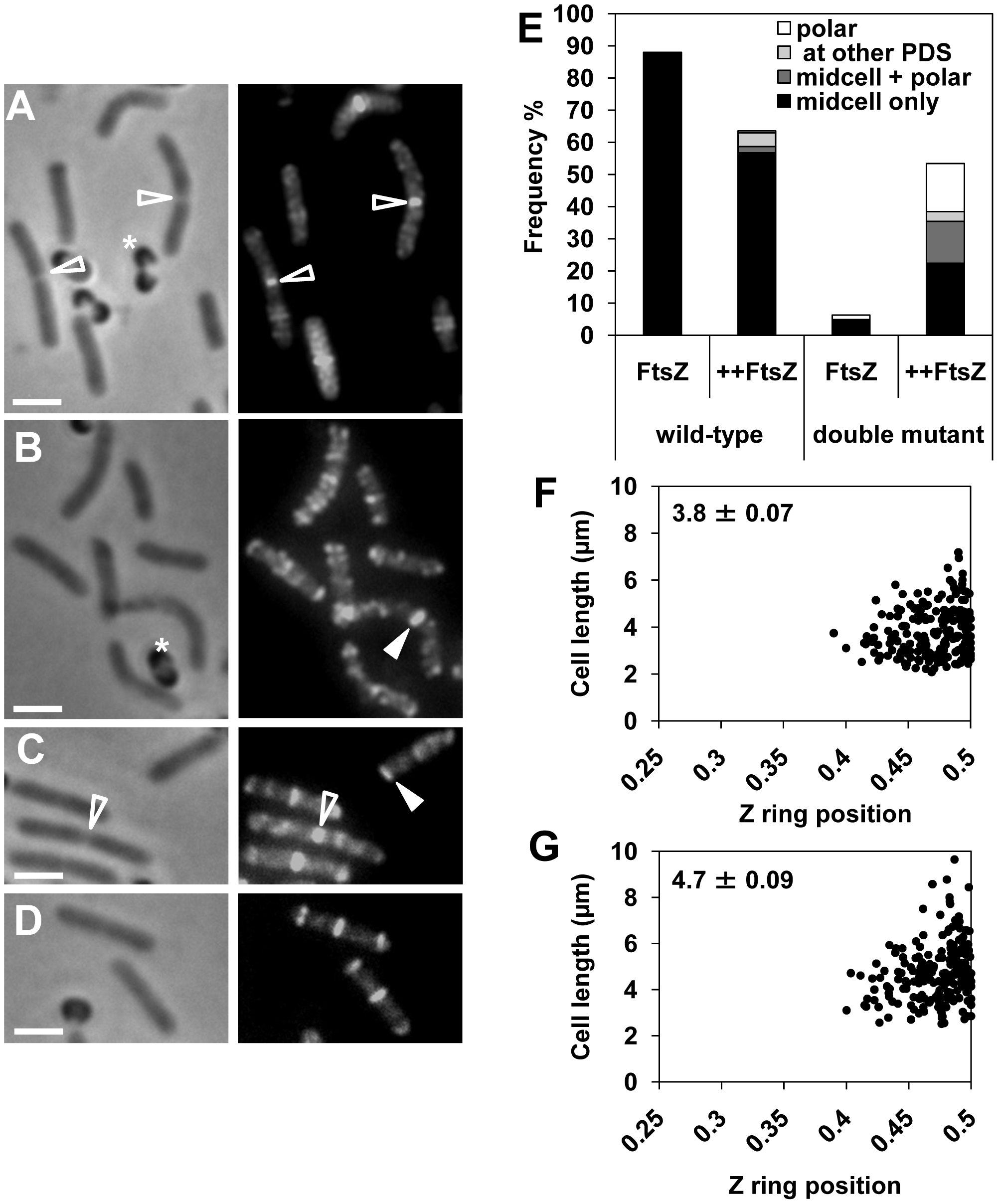 FtsZ overproduction reduces the delay in Z ring assembly at midcell in the <i>noc minCD</i> double mutant.