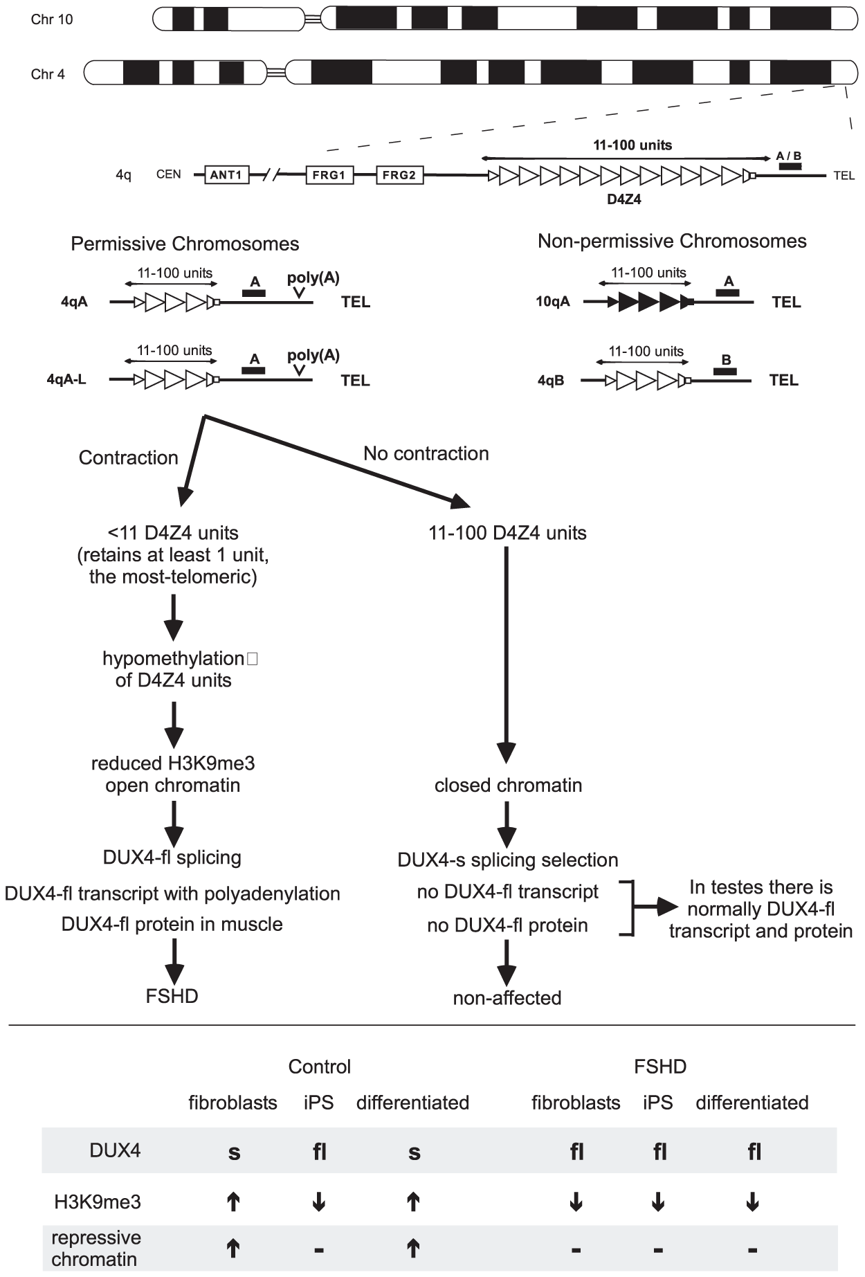 Simplified schematic outlining the genetic requirements for FSHD and the current model for pathogenesis.