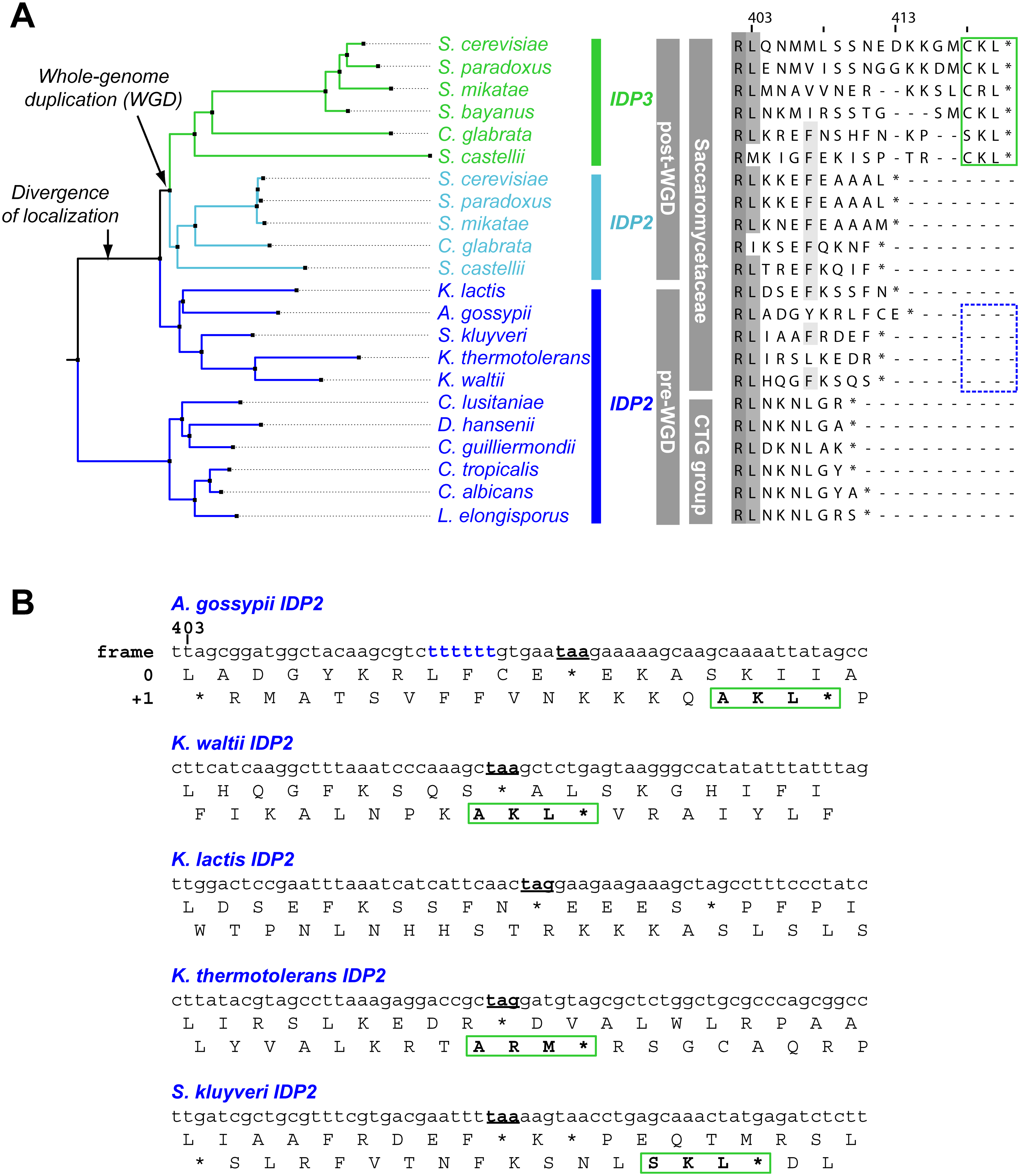 <i>IDP</i> localization diverged before the WGD via the emergence of cryptic PTS1 in the 3'UTR of the ancestral, Saccaromycetaceae <i>IDP2</i> genes.