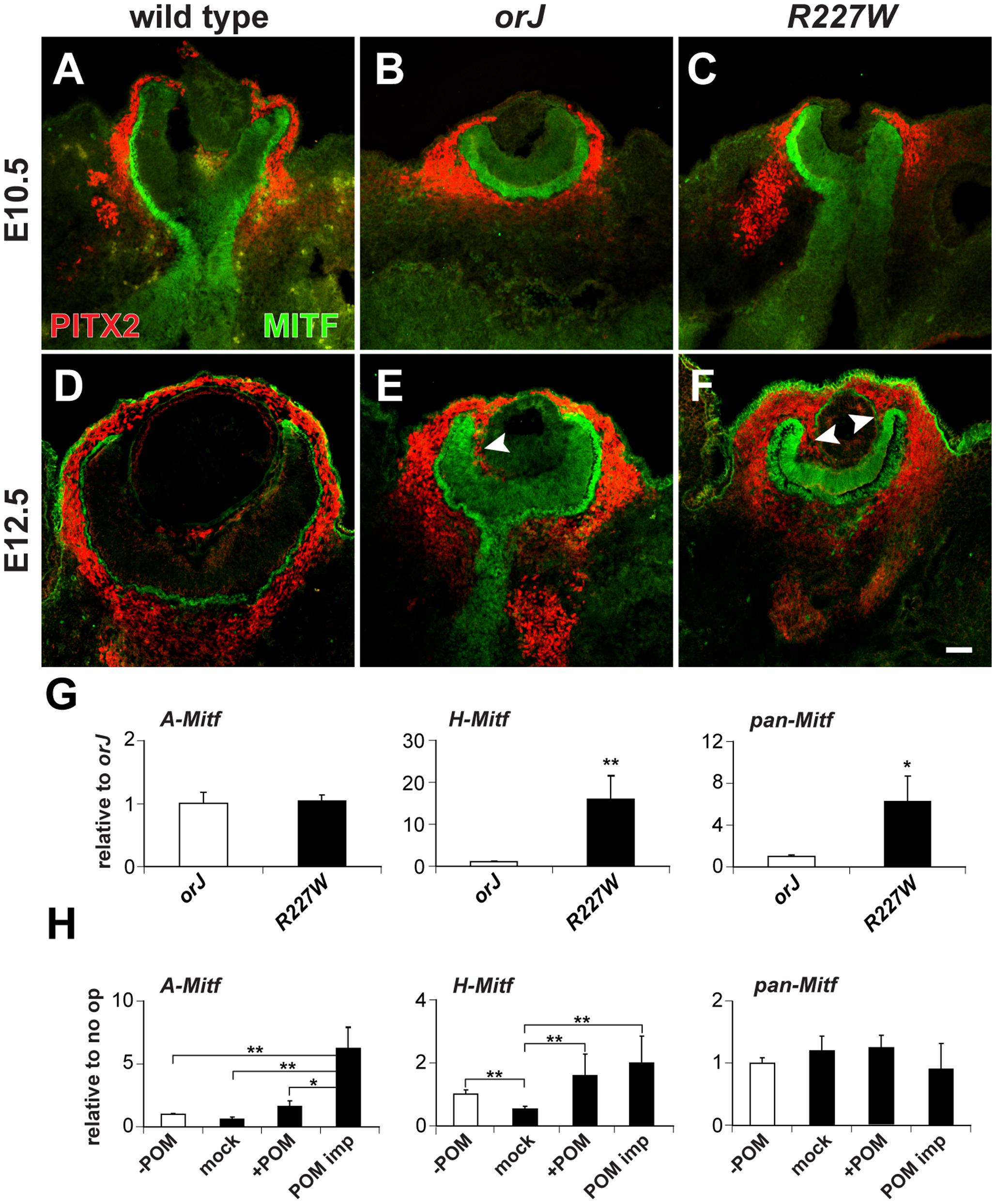 Influence of POM on Mitf expression in the <i>R227W</i> retina.