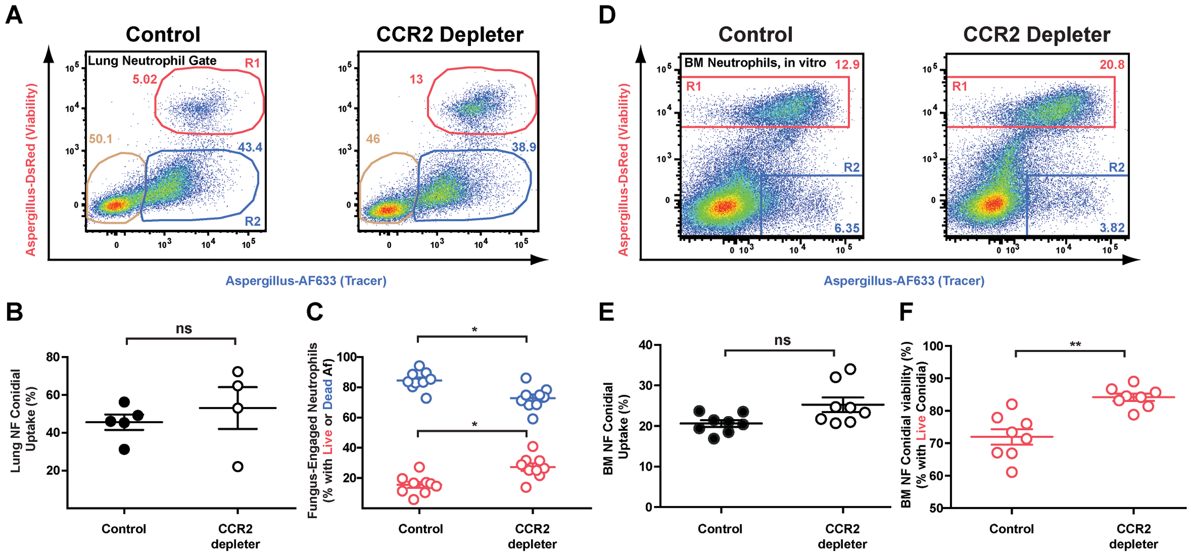 Diminished neutrophil conidiacidal activity in CCR2 depleter mice.