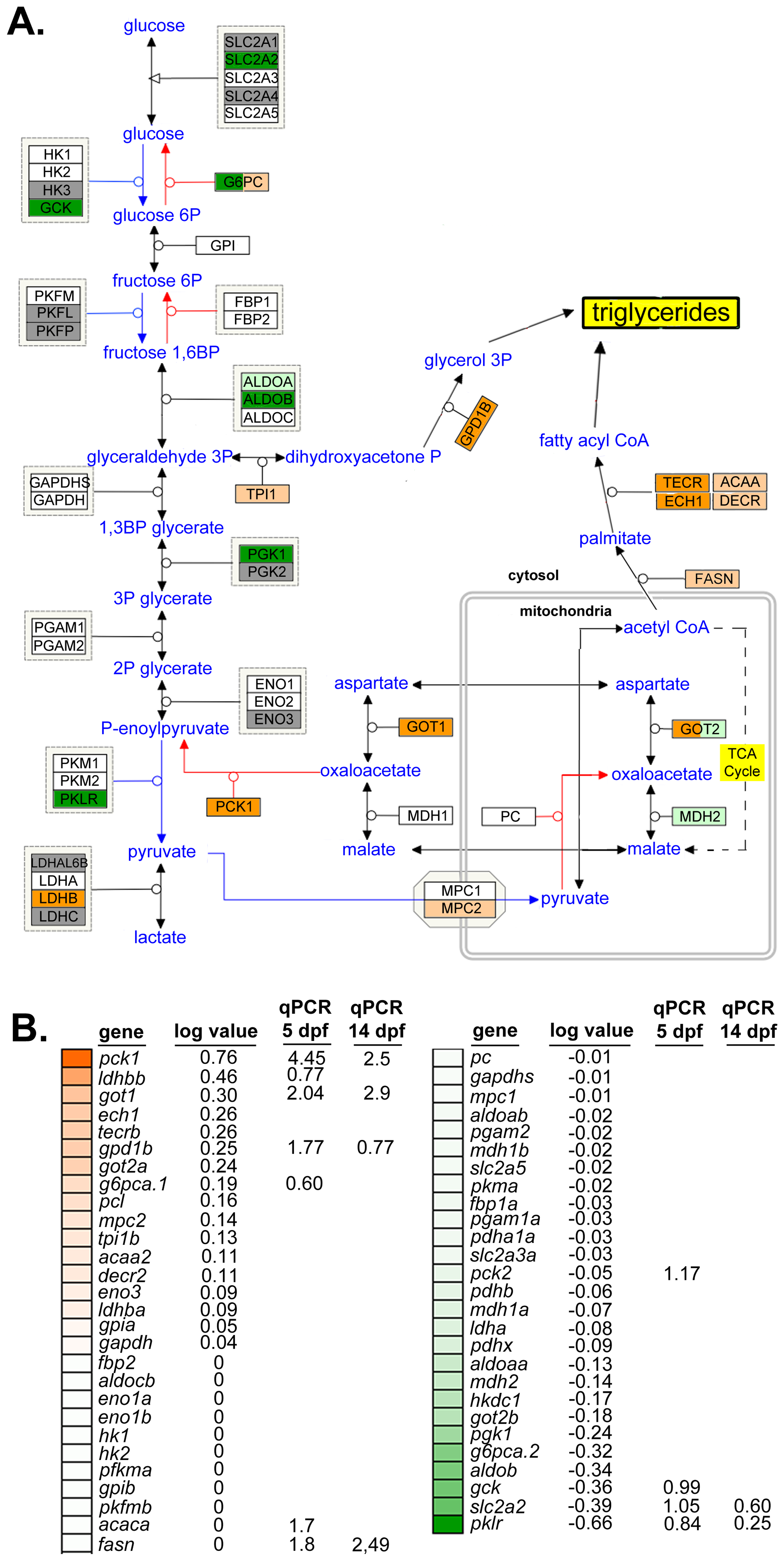 Glyceroneogenesis and fatty acid elongation pathways are dysregulated by nAtf6 overexpression.