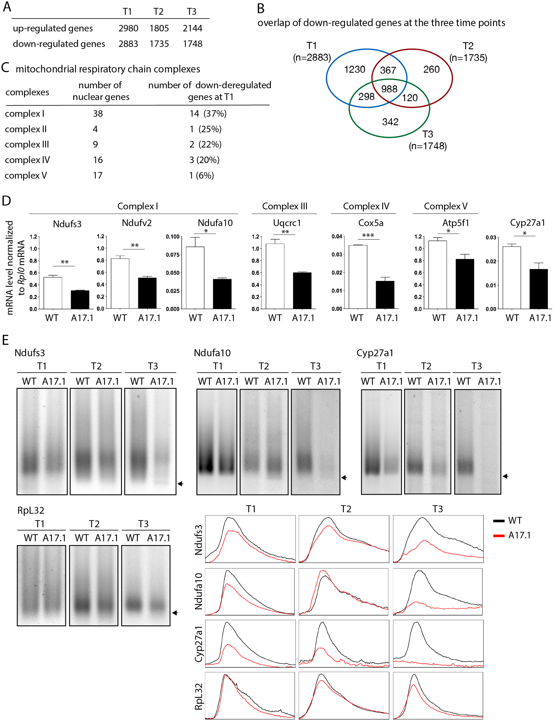 Deregulation of the mitochondrial pathway in the OPMD mouse model.