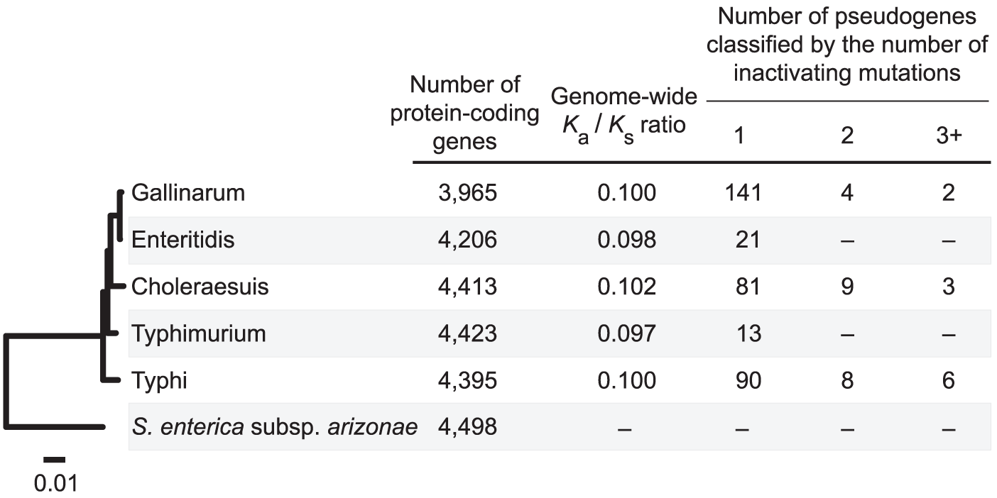 Distribution of pseudogenes among <i>Salmonella</i> genomes.