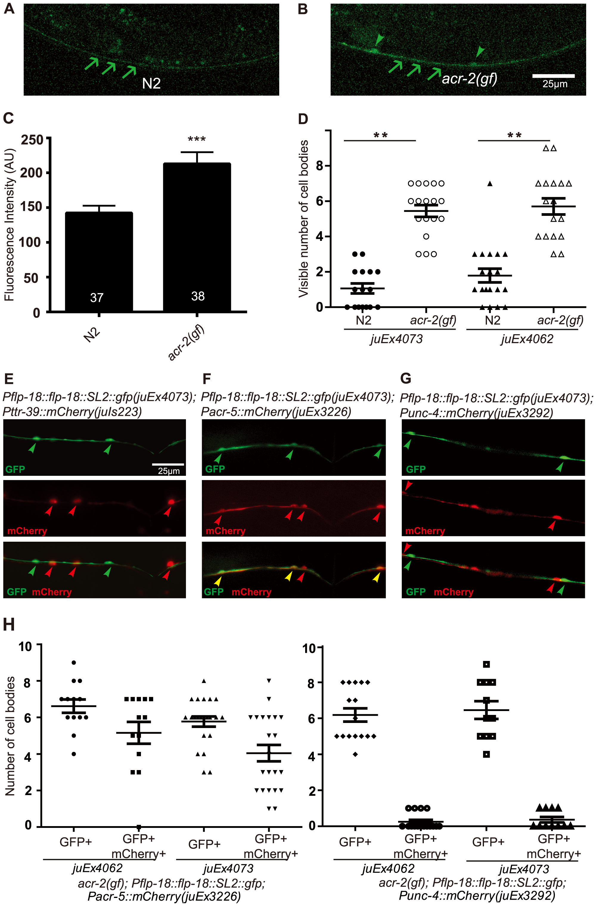 FLP-18 expression is selectively increased in the cholinergic motor neurons in the <i>acr-2(gf)</i> background.