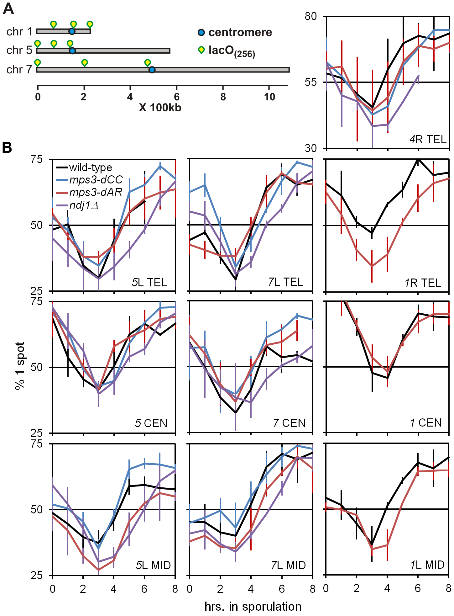 Delays of pairing/synapsis in RPM mutants vary among chromosome loci.