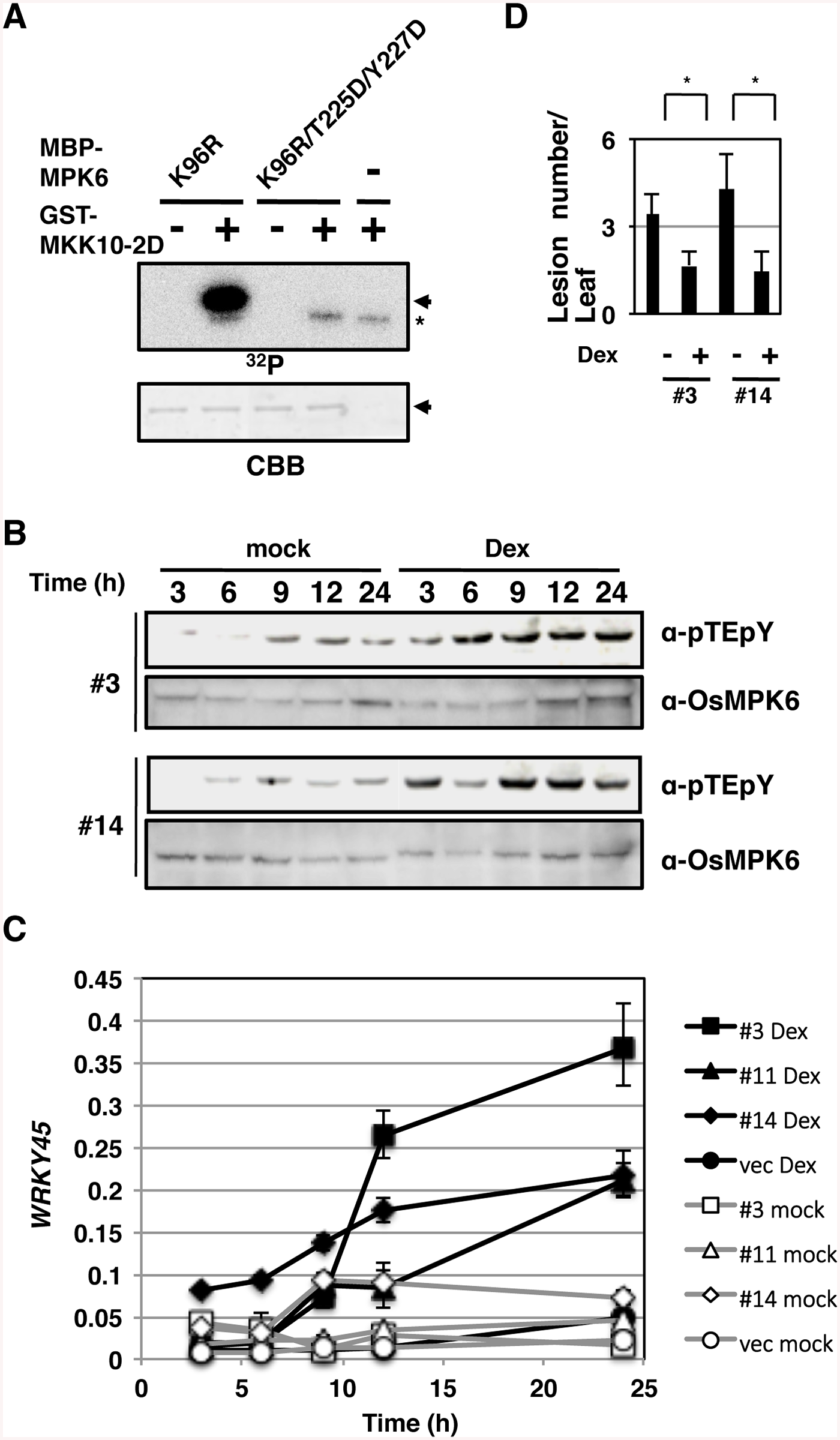 Activation of OsMPK6 is sufficient for the <i>WRKY45</i> induction and blast resistance.