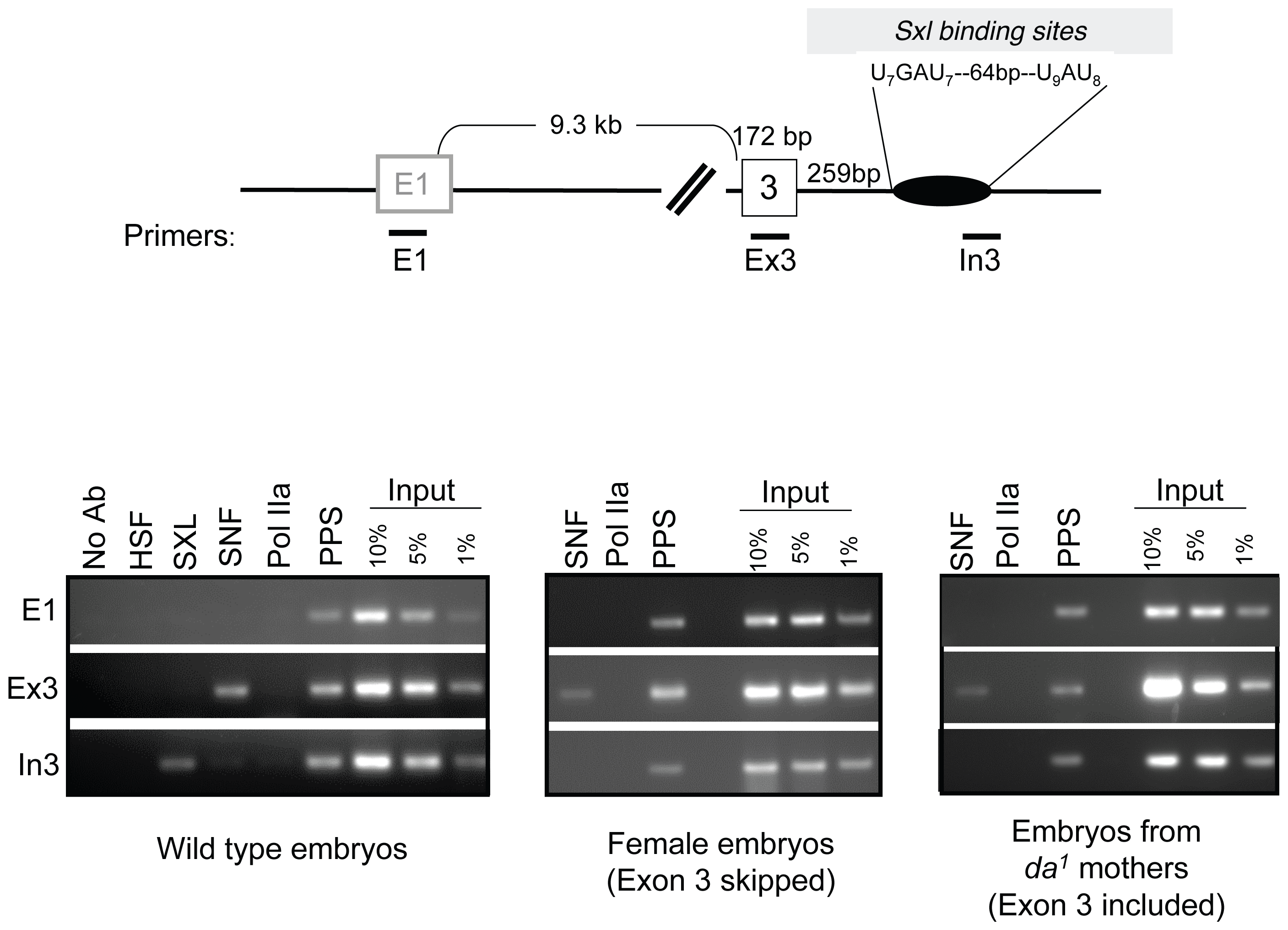 Accumulation of SXL, SNF, and PPS along the body of the <i>Sxl</i> gene in embryos.