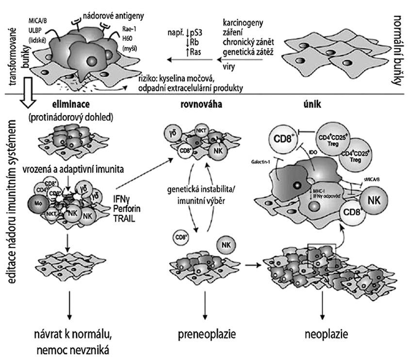 Teorie protinádorového dohledu, editace nádoru imunitním systémem a klinický korelát jednotlivých stadií. Převzato a upraveno podle Dunn a kol.