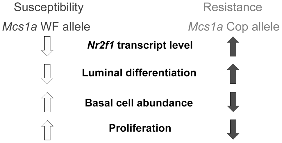 Proposed model for the <i>Mcs1a</i> breast cancer risk-affecting mechanism.