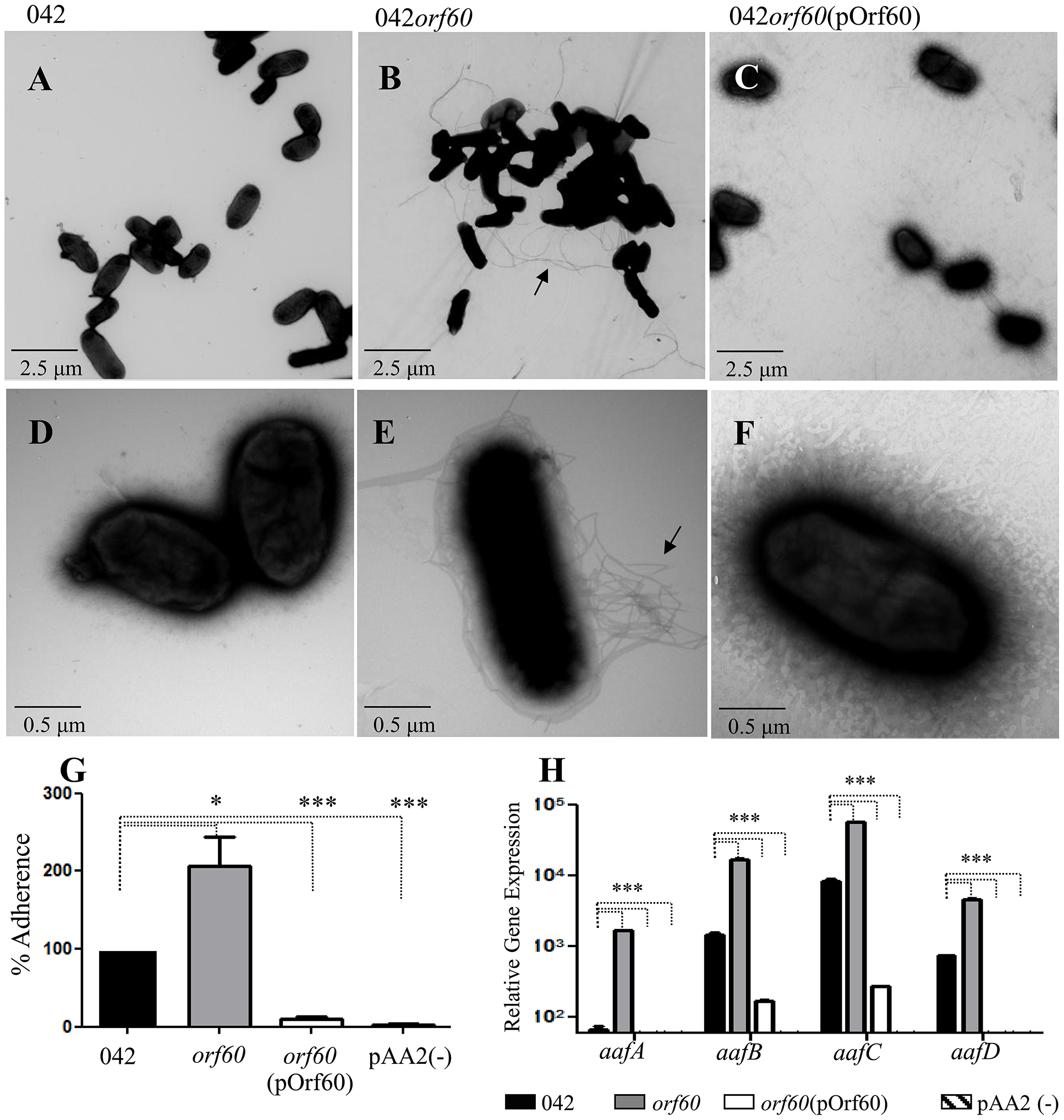 Increased expression of AAF in 042<i>orf60</i>.