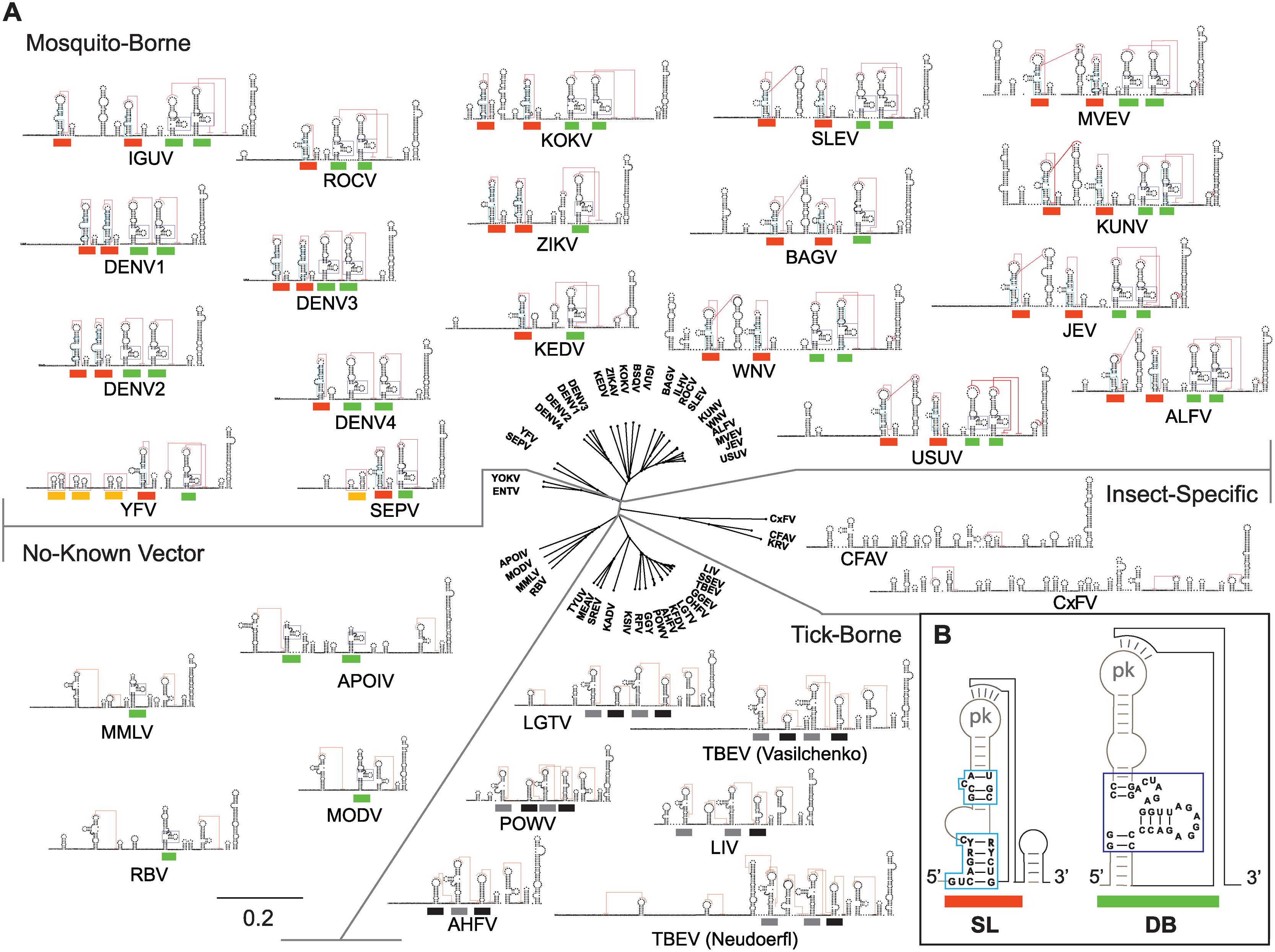 Models of flavivirus 3'UTR secondary RNA structures.