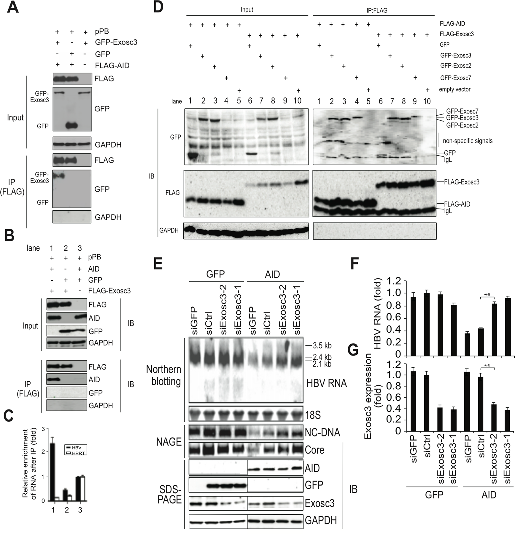 AID inducing HBV RNA reduction depends on Exosc3.