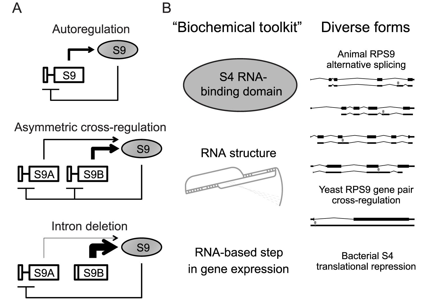 Hypothetical evolution of <i>RPS9</i> autoregulation.