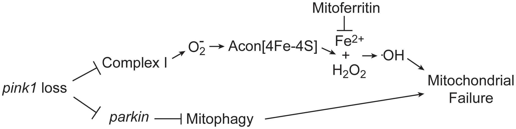 Model of oxidative Acon inactivation in <i>pink1</i> mutants.