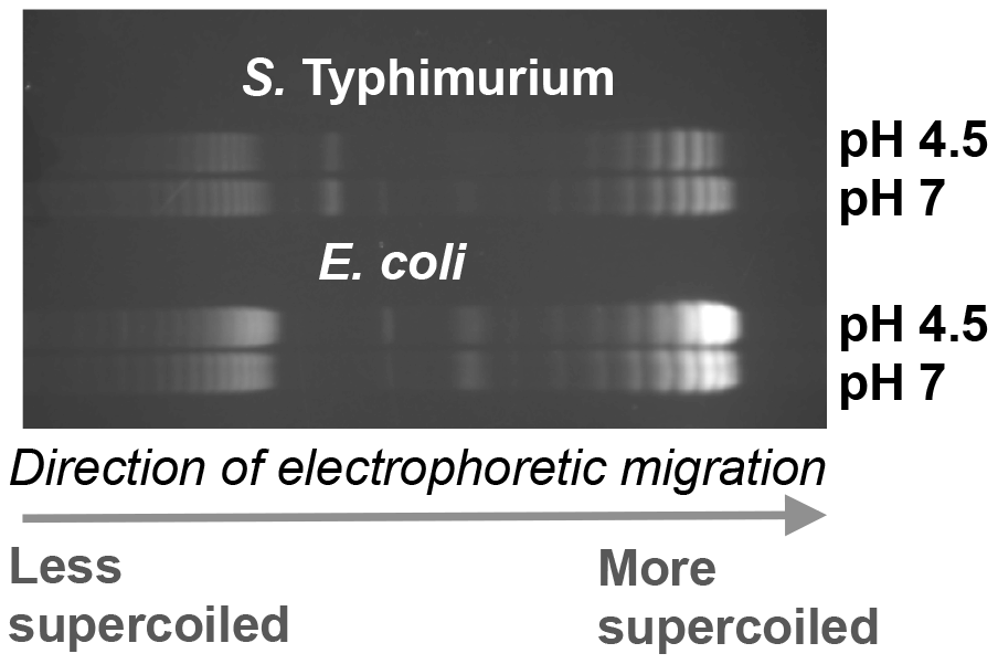 The effect of pH on DNA supercoiling in <i>Salmonella</i> Typhimurium strain SL1344 (top) and <i>E. coli</i> strain CSH50 (bottom).