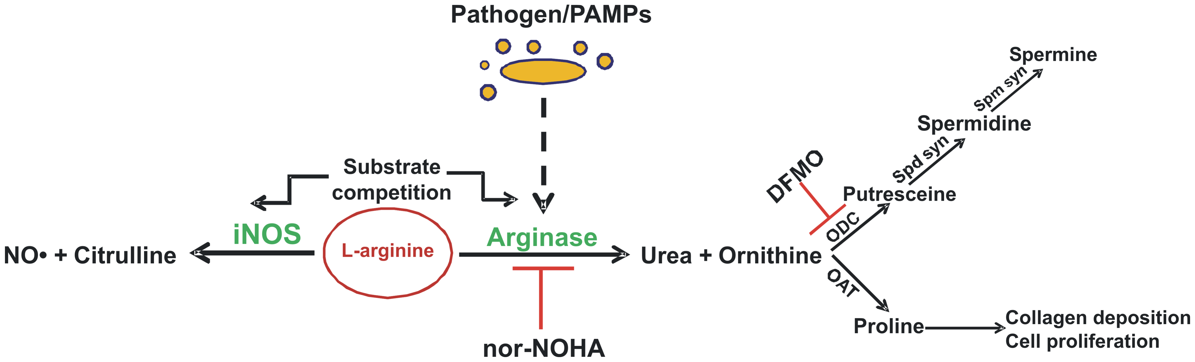 Overview of mammalian arginine metabolism.