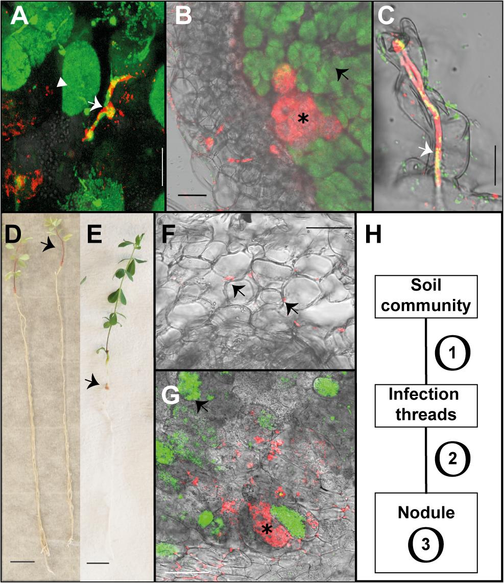 Endophytic colonisation of <i>Lotus japonicus</i> roots and nodules by <i>R</i>. <i>mesosinicum</i> KAW12.