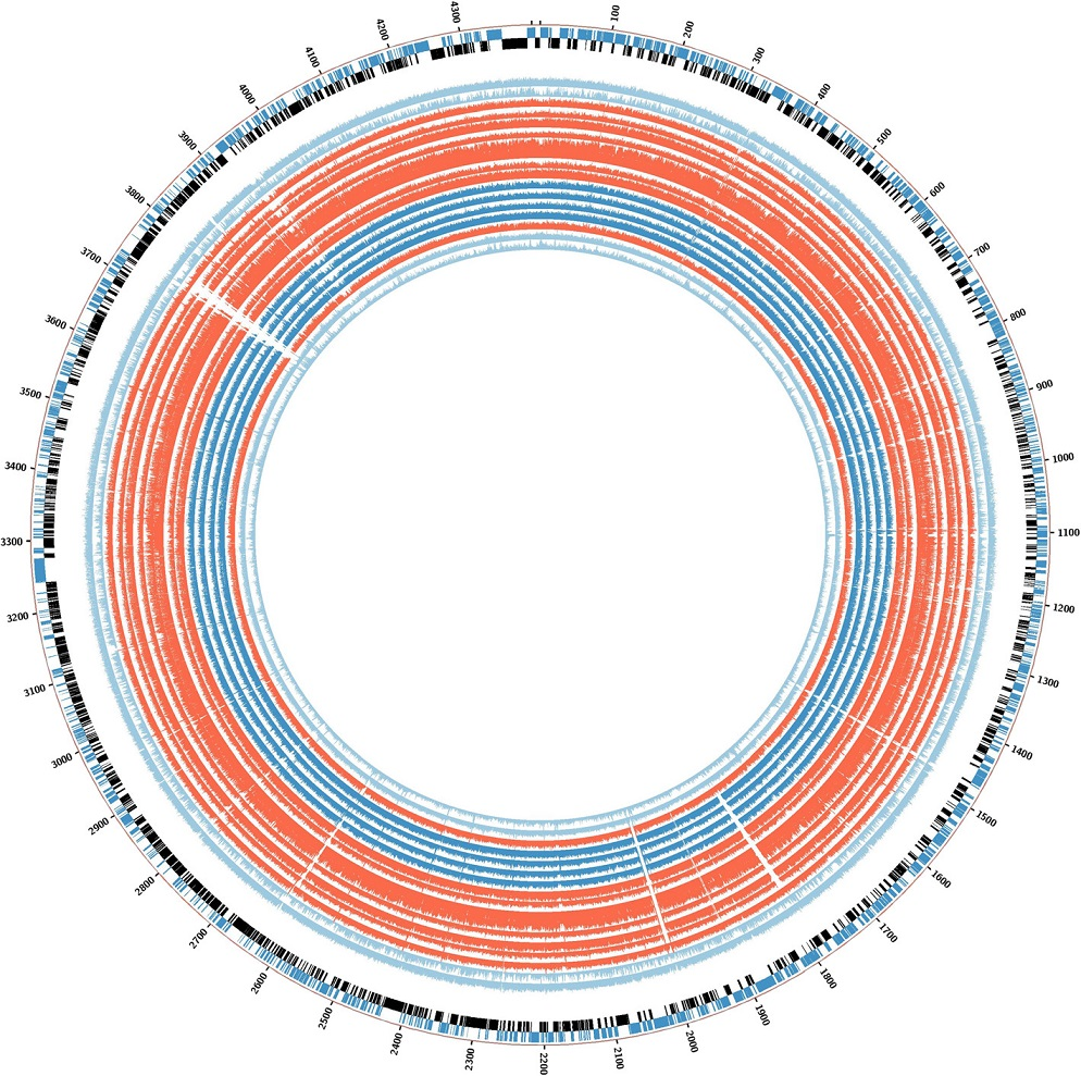 BLAST ring for the graphical representation of deleted genes in the isoniazid-resistant tuberculosis outbreak. Deleted regions are shown as <i>white empty spaces</i> in the alignment. The order is the same as for the phylogenetic tree. Strains 02.292, 03.039, 04.018, 04.211, 04.494, 04.503, and 07.116 (all closely related) are in <i>red</i>. Strains 05.046, 02.113, 03.013, and 03.313 are coloured <i>deep blue</i>, and control strains 05.177, 05.094, and 04.011 are <i>light blue</i> as <i>H37Rv</i>. Strain 04.194 is also shown in <i>red</i>