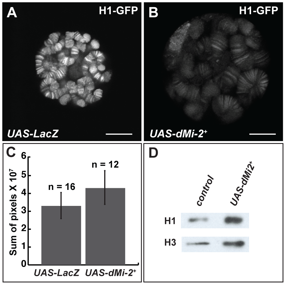 dMi-2 does not promote chromatin decondensation by antagonizing histone H1 assembly.