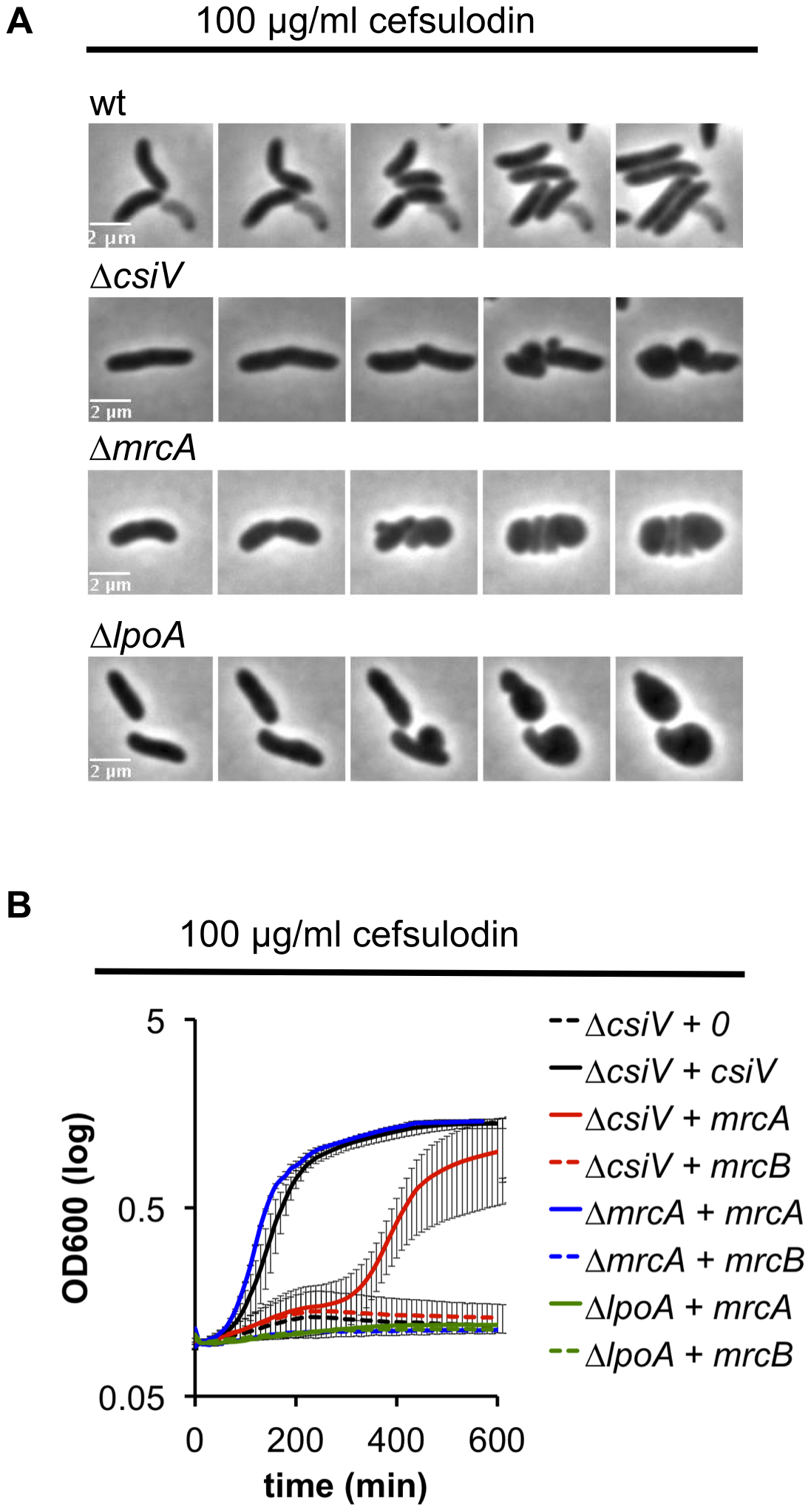 <i>V. cholerae</i> PBP1A is partially functional in the absence of CsiV.