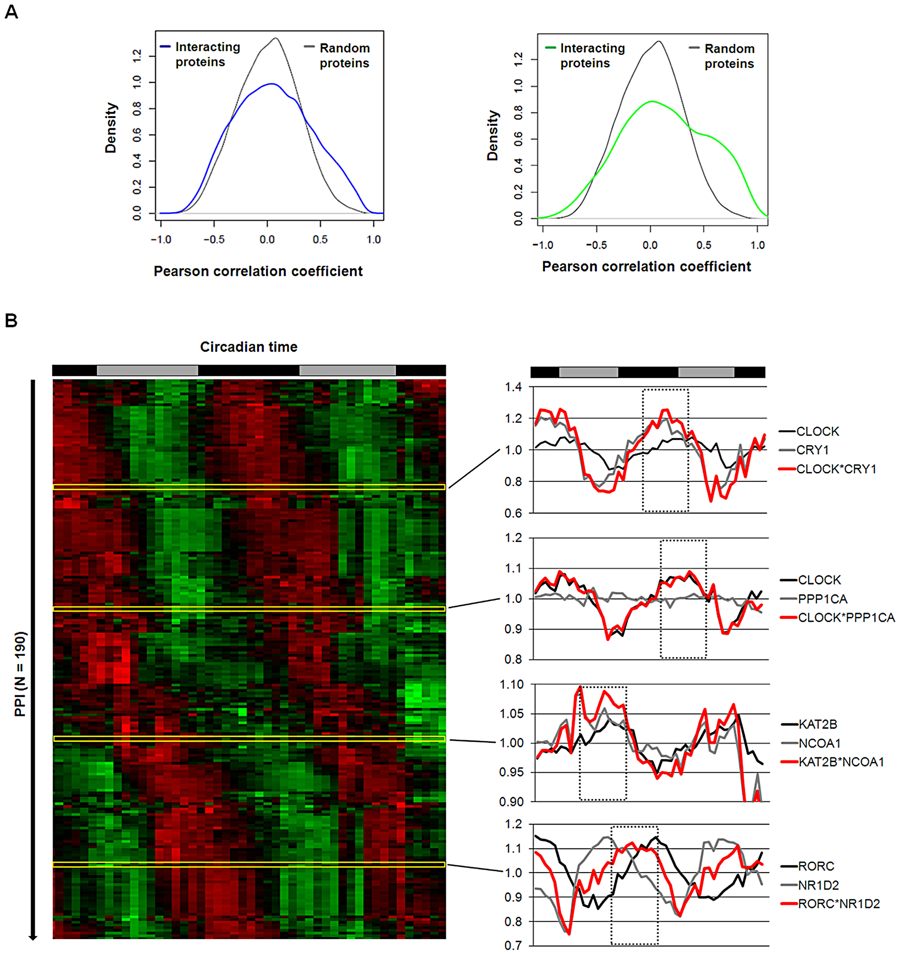 Interaction Dynamics within the Liver Circadian Protein–Protein Network.