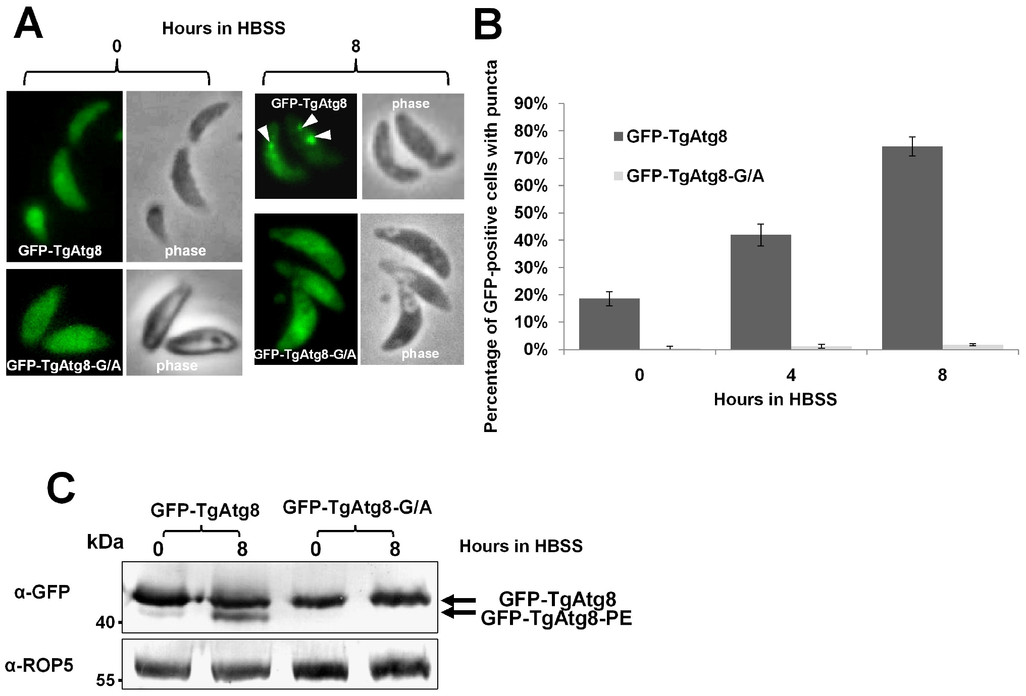 TgAtg8 ends with a C-terminal glycine that is essential for lipidation and conjugation to the autophagosomes.